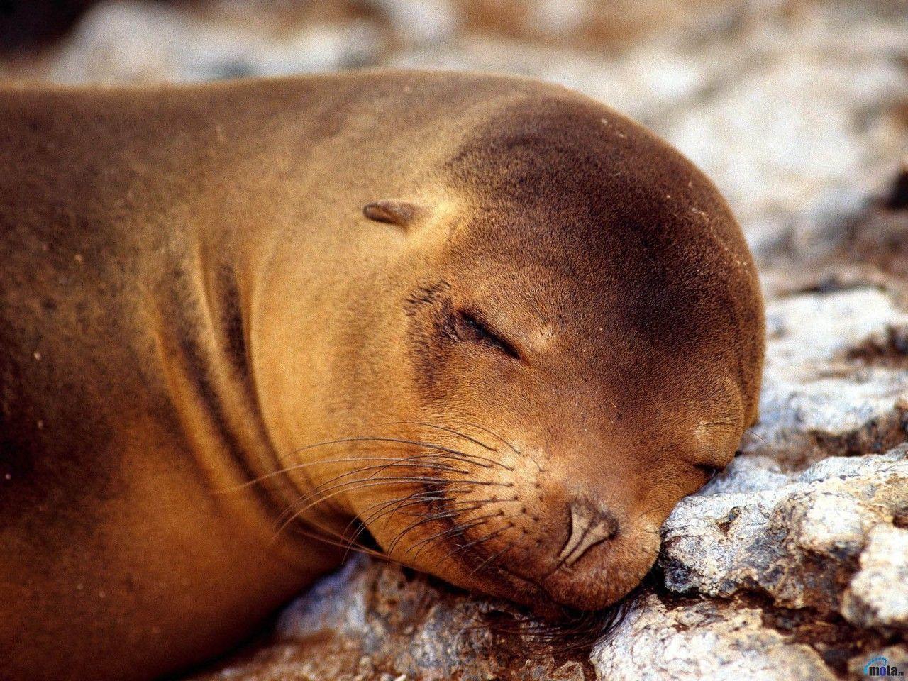 Wallpaper Hd For Desktop Full Screen Cute Baby Cute Seal Wallpaper Animal