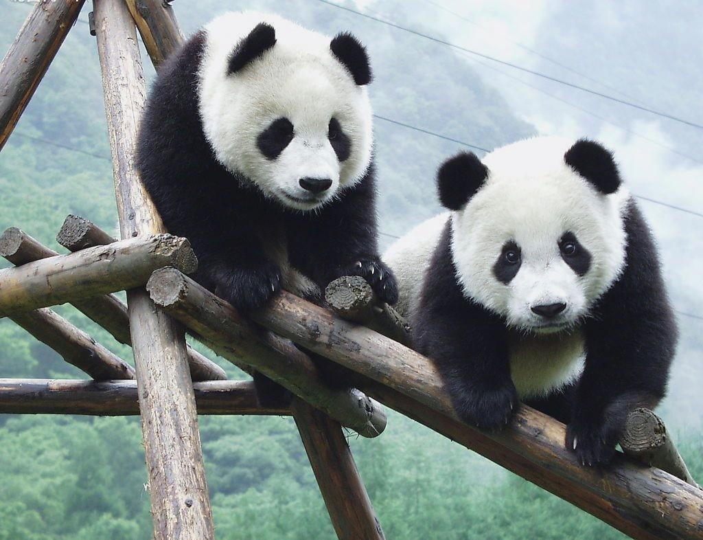 Cute Baby Bears Wallpaper Panda Wallpaper Hd Download