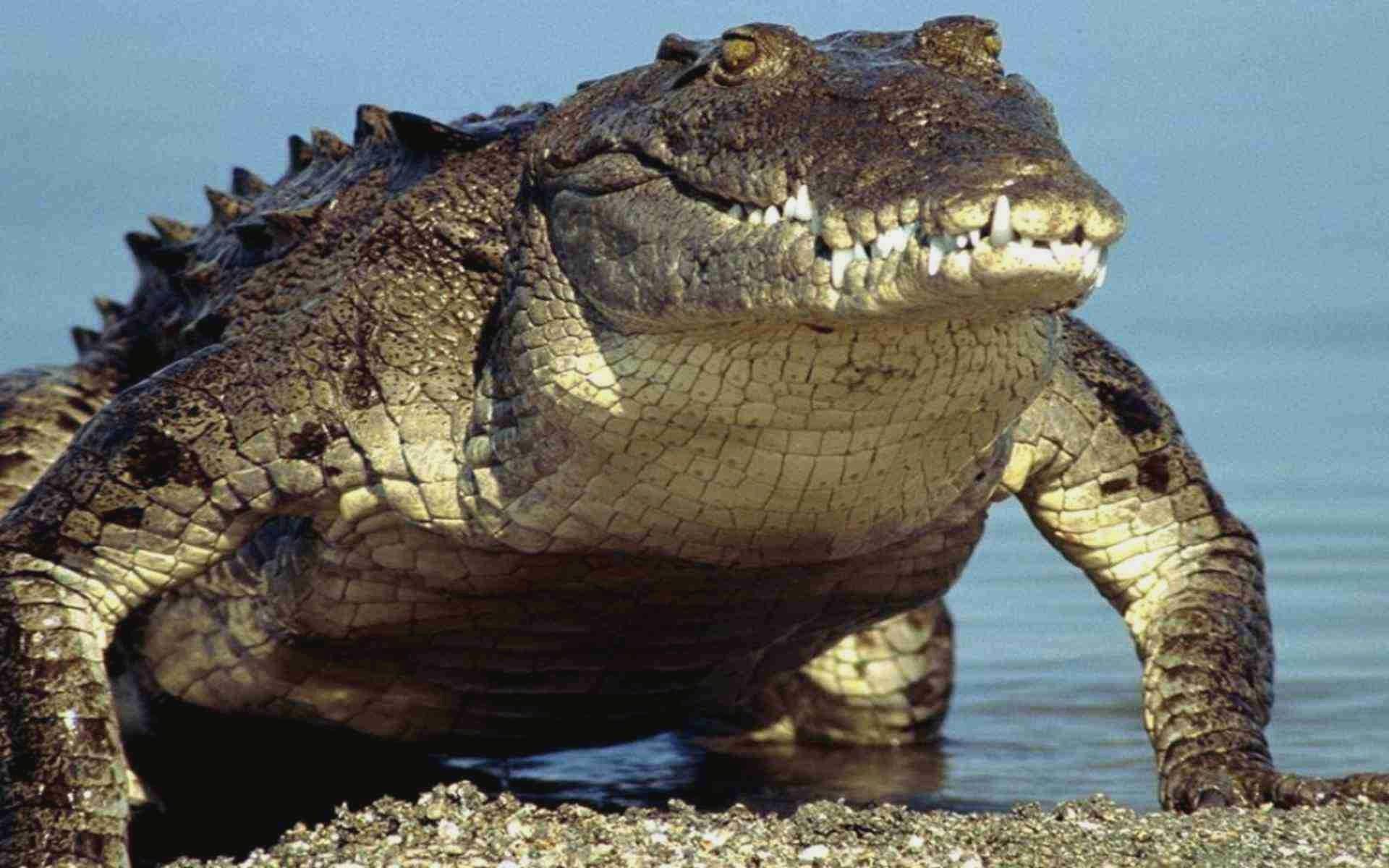 crocodile wallpaper hd download