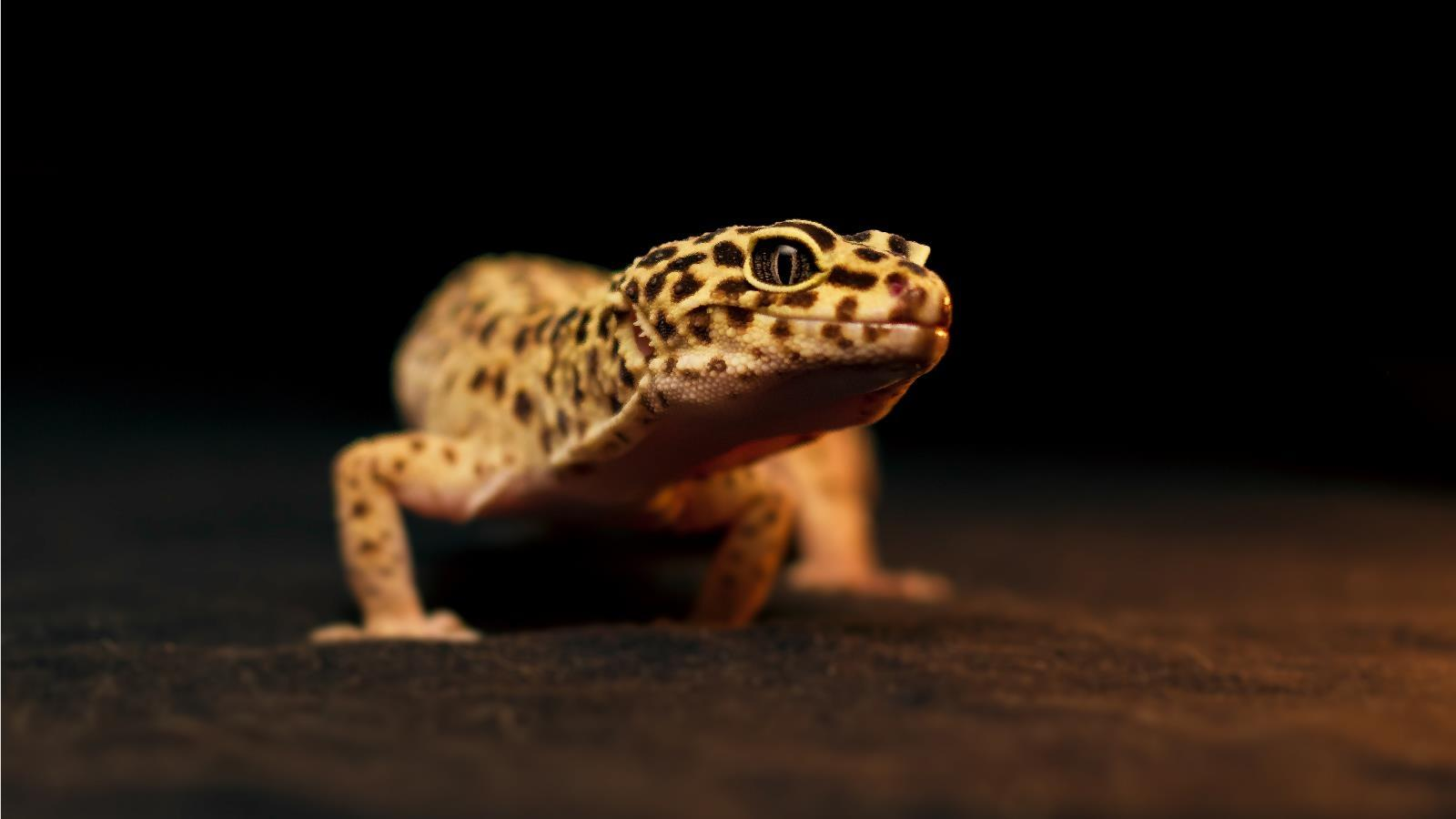 Satanic Iphone Wallpaper Leopard Gecko Wallpaper Hd Download