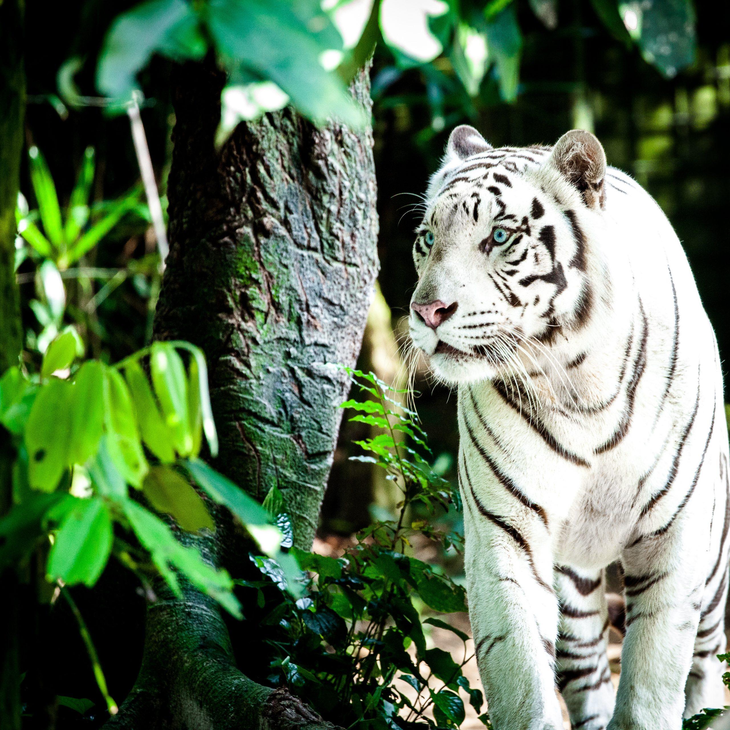 Wild Tiger Hd Wallpaper Beautiful White Tiger Hunting 4k Uhd Wallpaper