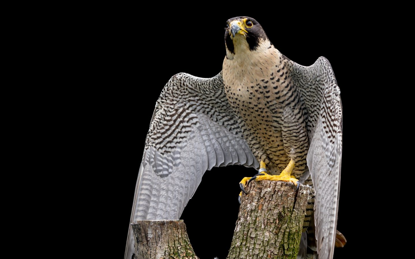Motivational Wallpapers Hd Peregrine Falcon Hd Wallpaper