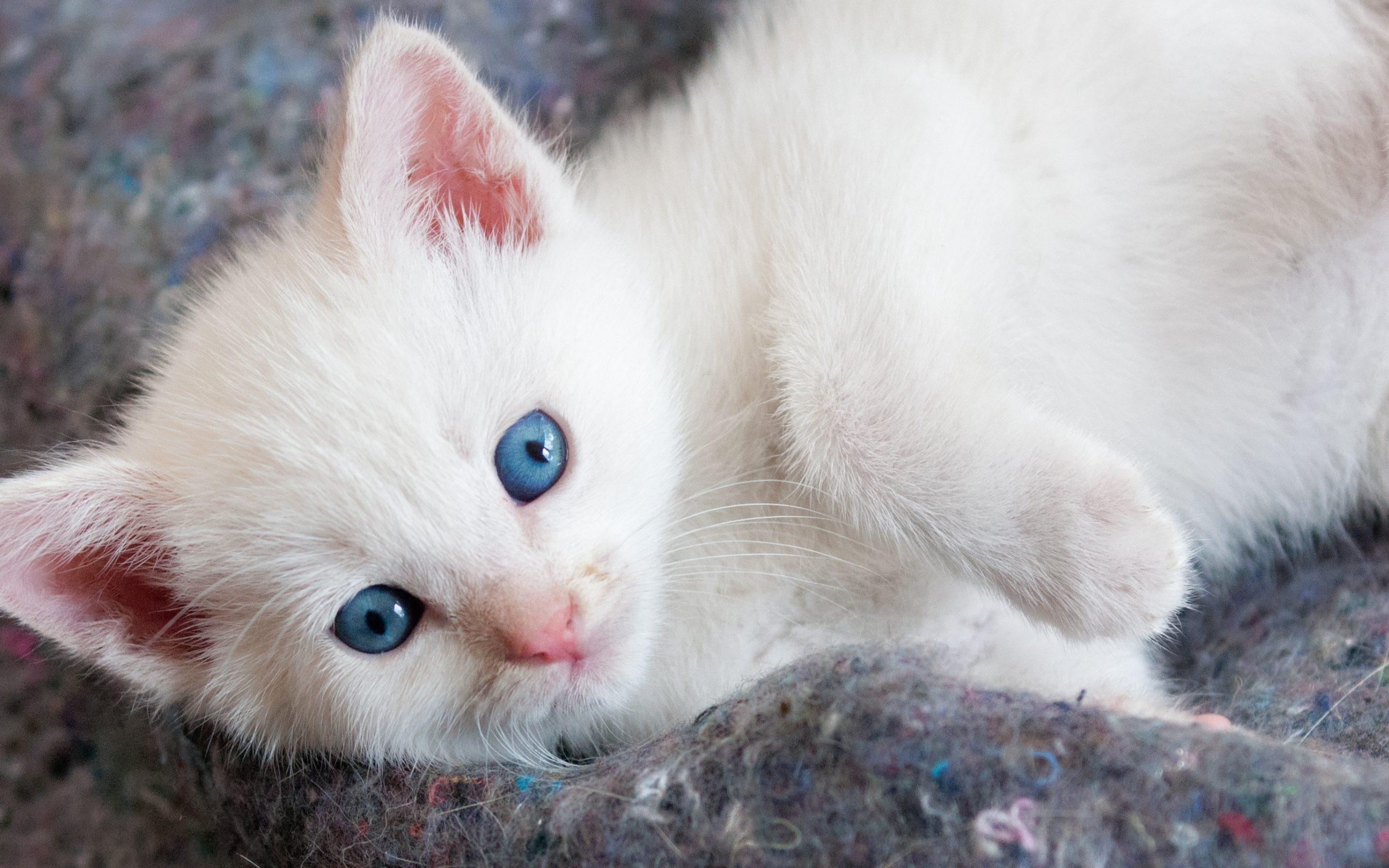 Cute Kitten Wallpaper Free Beautiful White Kitten With Blue Eyes Hd Wallpaper