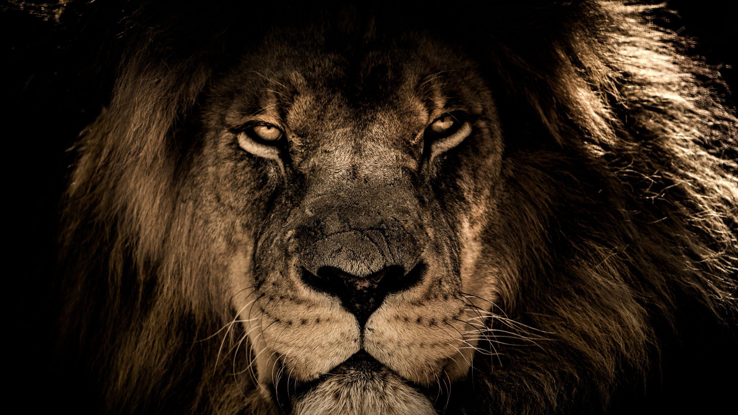 Motivational Desktop Cute Wallpaper African Lion 4k Uhd Wallpaper