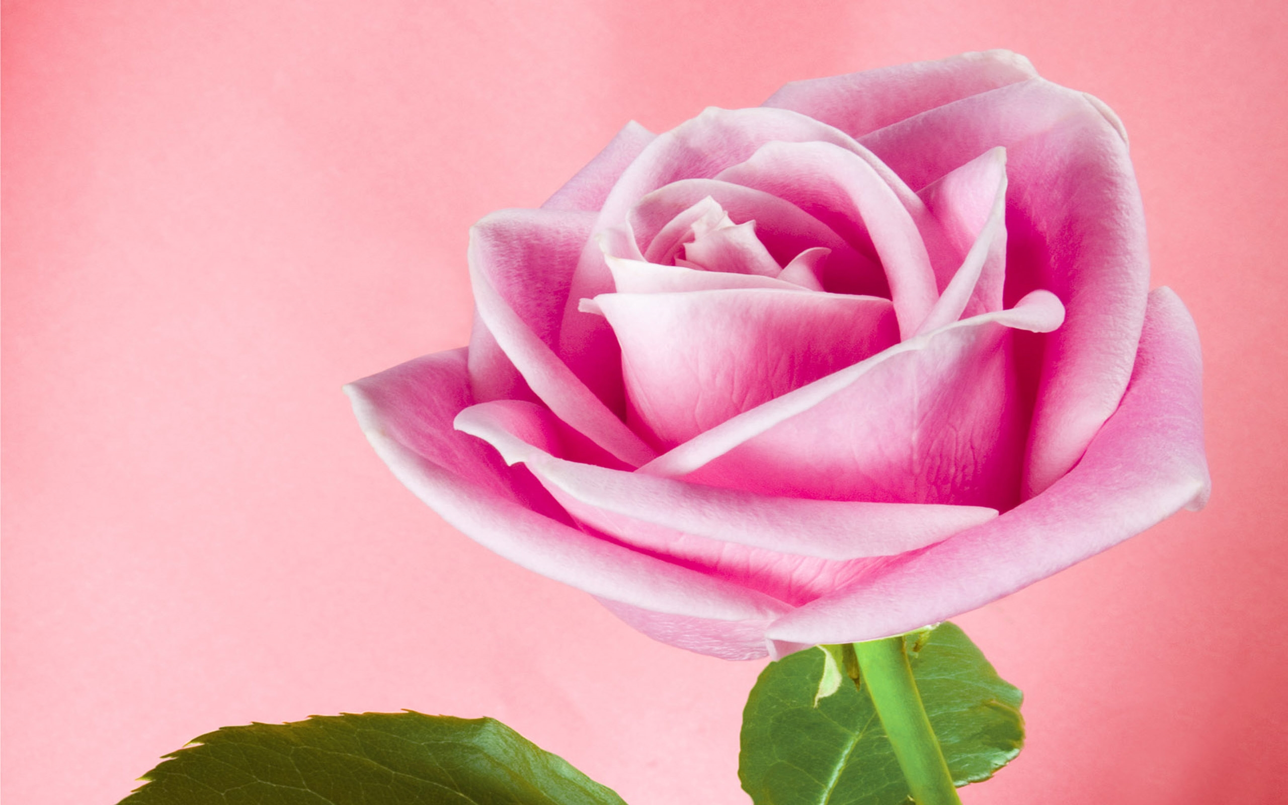 Swank Animated Rose Wallpapers Excellent Animated Rose