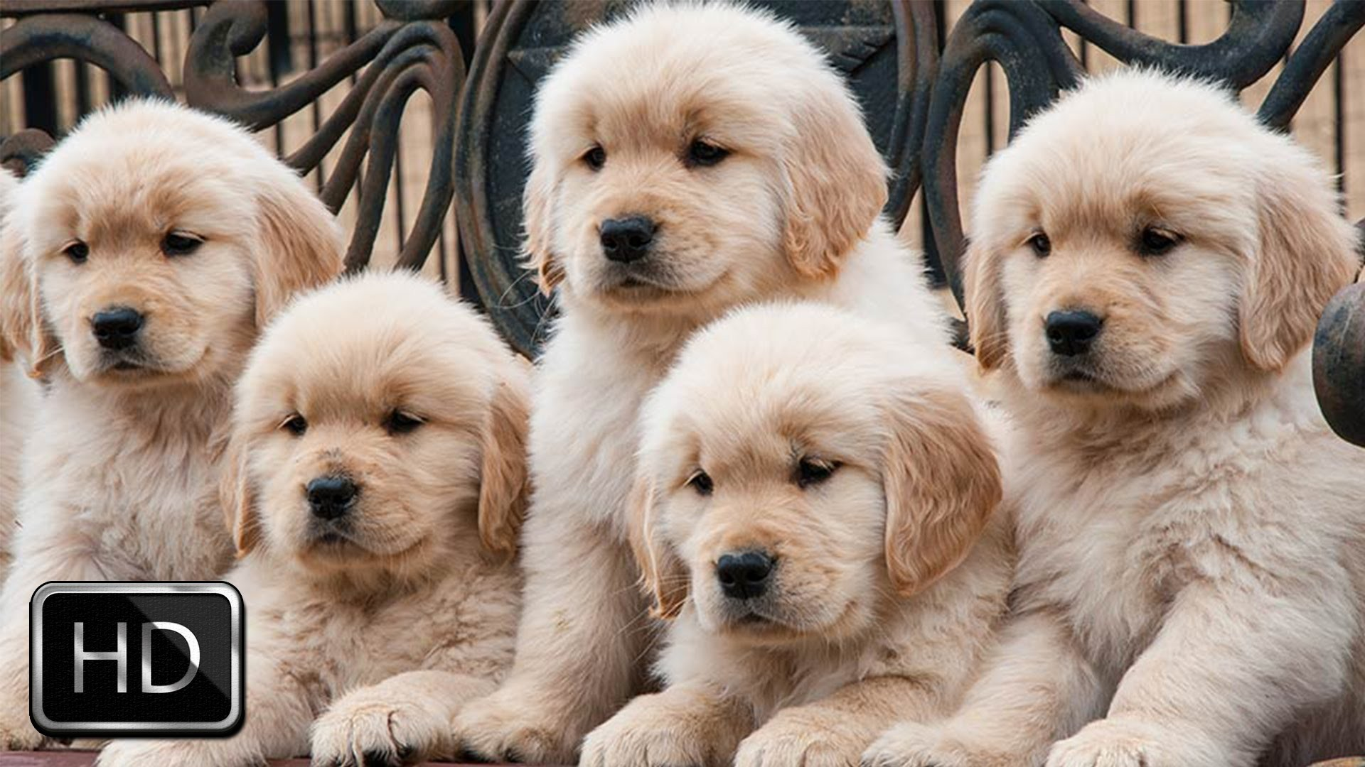 hd cute puppies backgrounds