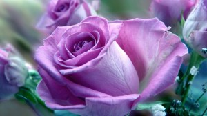 rose purple roses flowers wallpapers background flower pink lavender desktop april yellow mauve lilac pretty related windows walls
