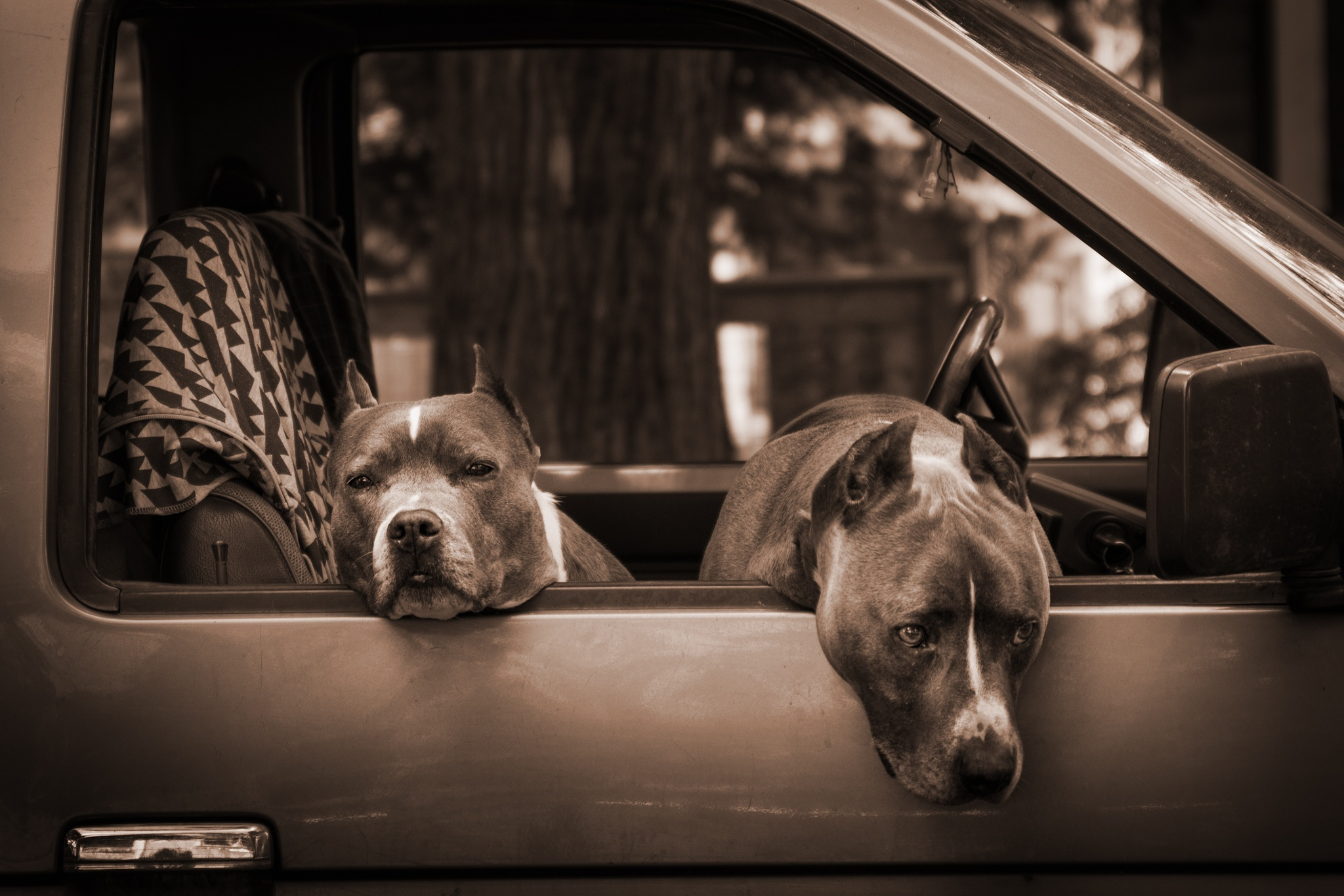 Grand Theft Auto Wallpaper Girl American Pit Bull Terrier Hd Wallpapers