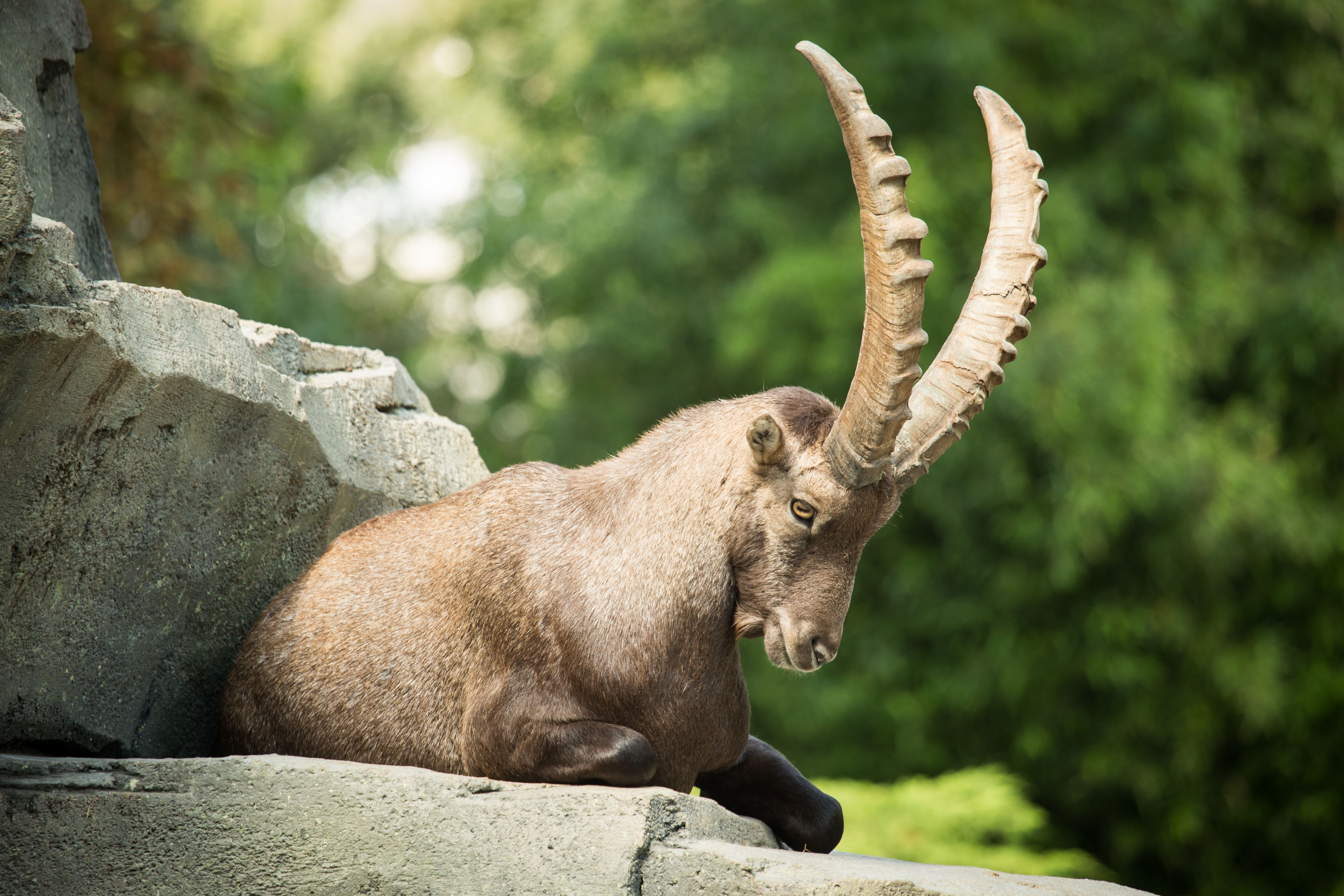 Cute Baby Animal Pictures Wallpapers Alpine Ibex Wallpapers Backgrounds