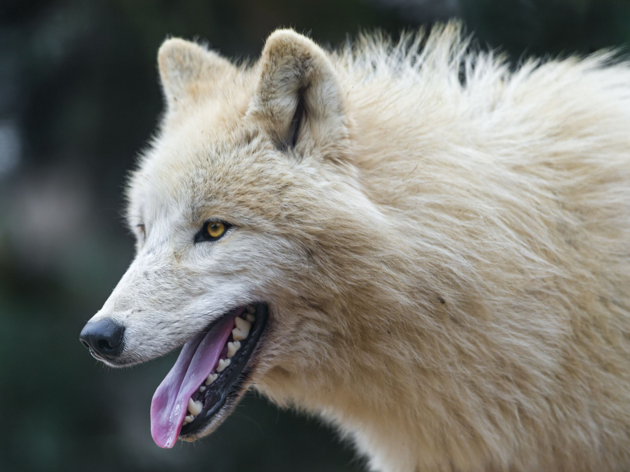 Anime Mix Wallpaper Arctic Wolf Wallpapers Backgrounds