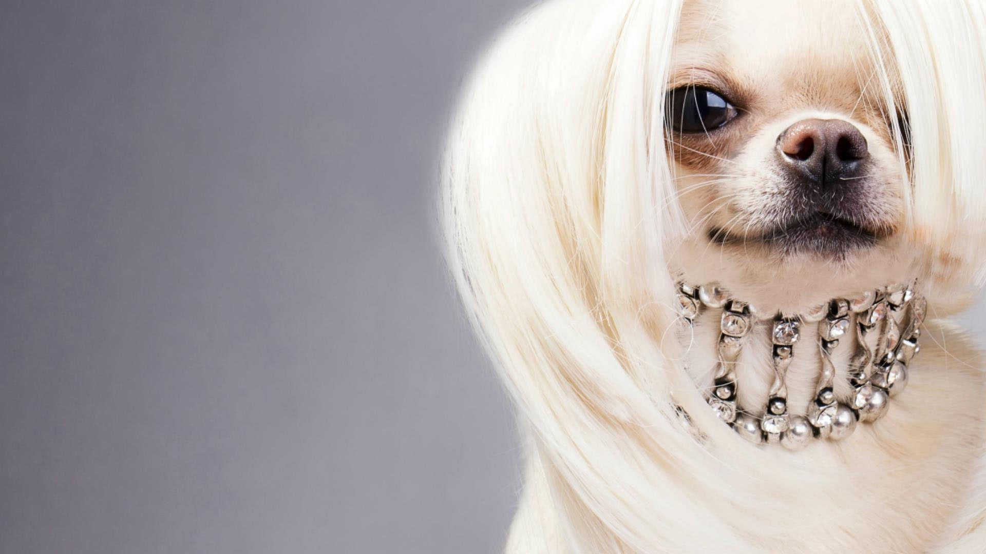 Cute Anime Dogs Wallpaper Chinese Crested Dog Wallpapers Backgrounds