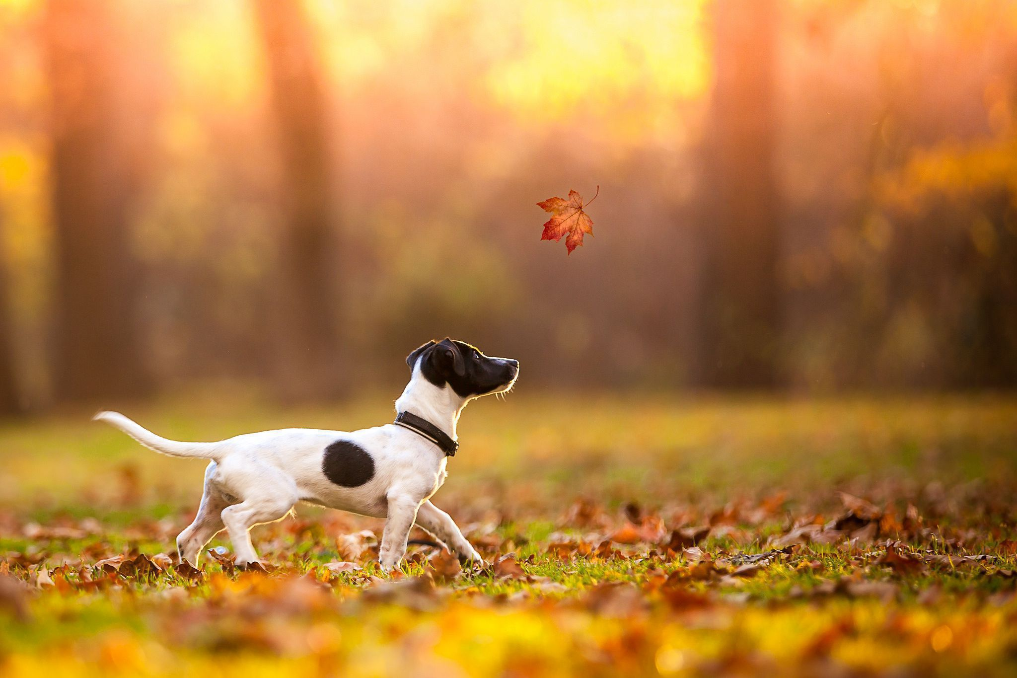Fall Fox Wallpaper Jack Russell Terrie Wallpapers Backgrounds