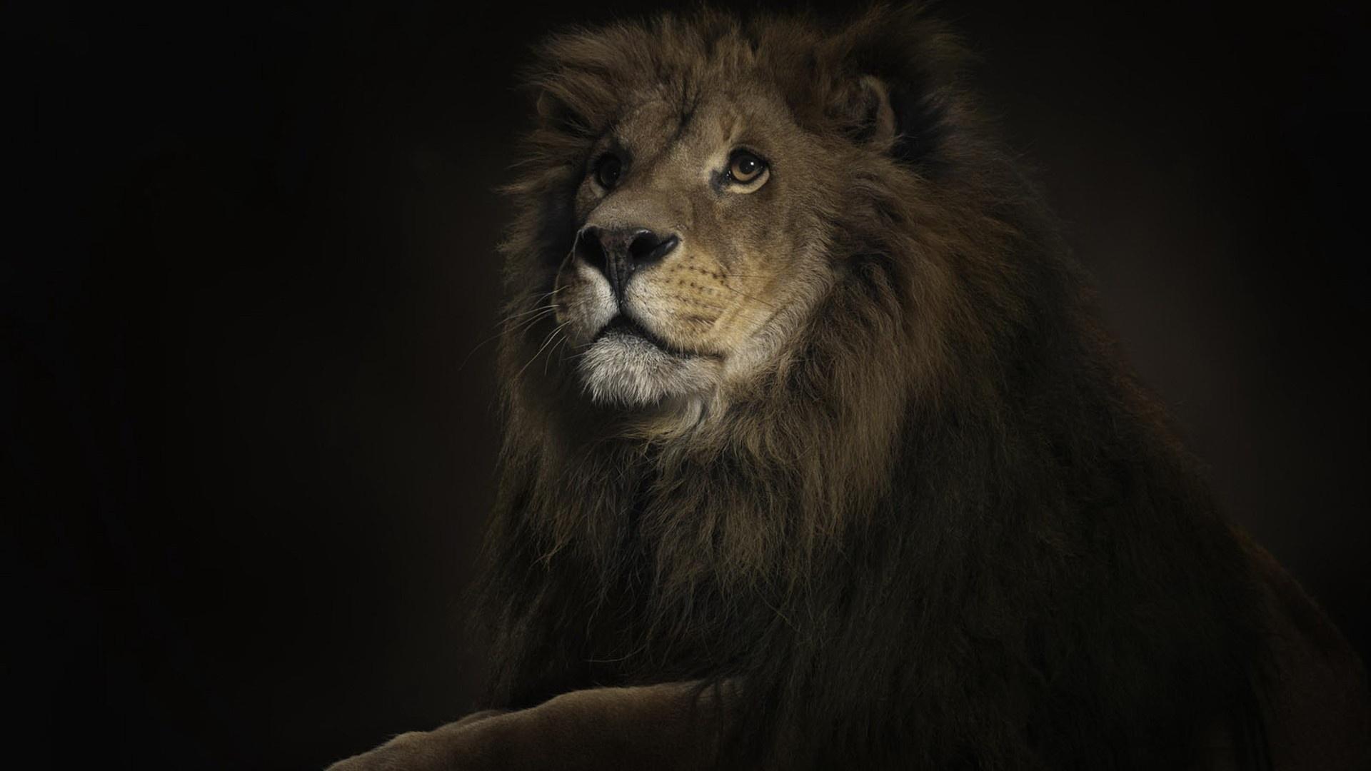 lion wallpaper desktop 64