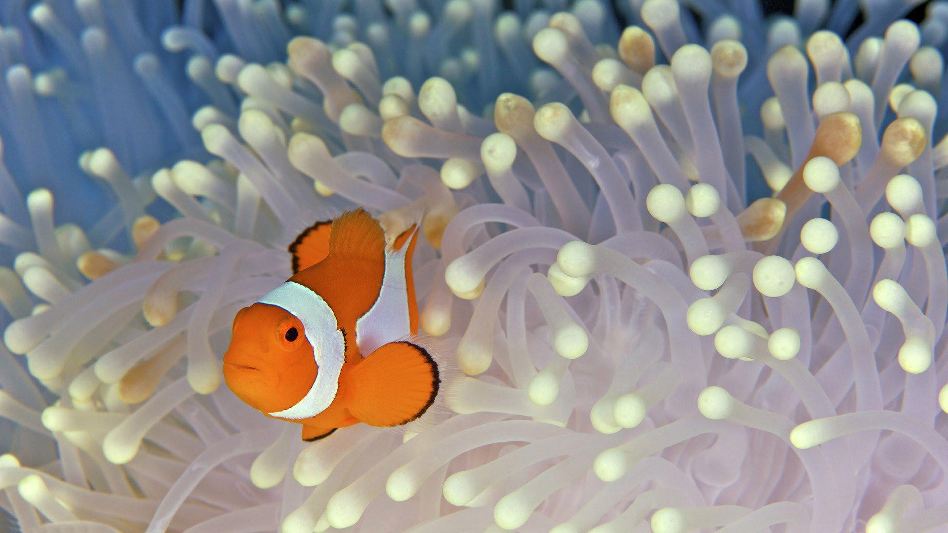 Iphone 5 Clown Fish Wallpaper Clown Fish Wallpaper 61 Pictures