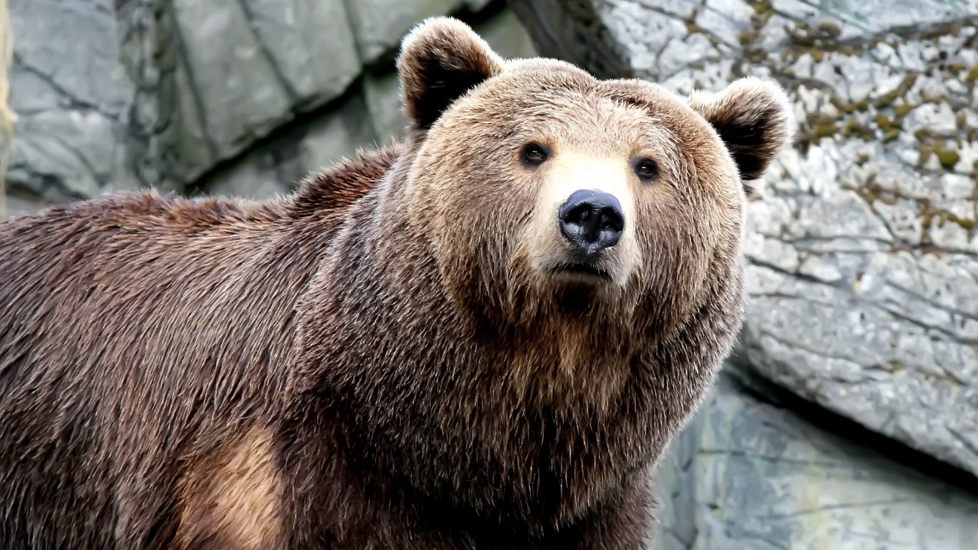 grizzly bear backgrounds 63