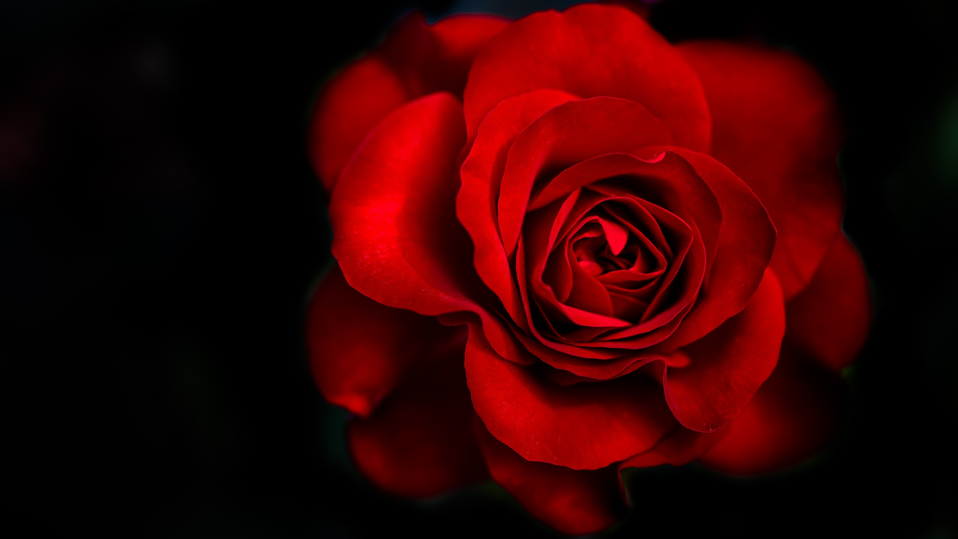 red rose wallpaper desktop