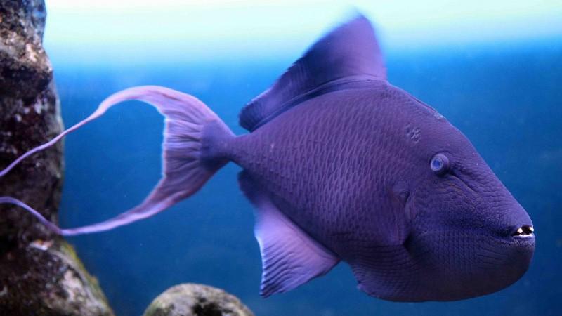 Funny Quotes Wallpaper Download Wallpaper Grey Triggerfish Atlantic Nova Scotia