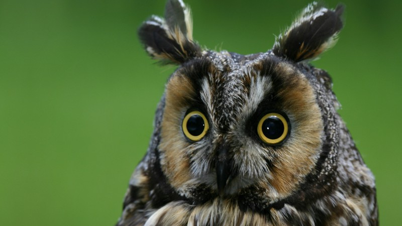 Flowers Hd Wallpapers With Quotes Wallpaper Owl Eagle Owl Funny Nature Plumy Animals 4075