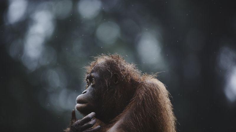 National Geographic Animal Wallpapers Wallpaper Orangutan Borneo Malaysia Wildlife National