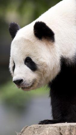 Cute Pandas Wallpapers Wallpaper Panda Giant Panda Zoo China Cute Animals