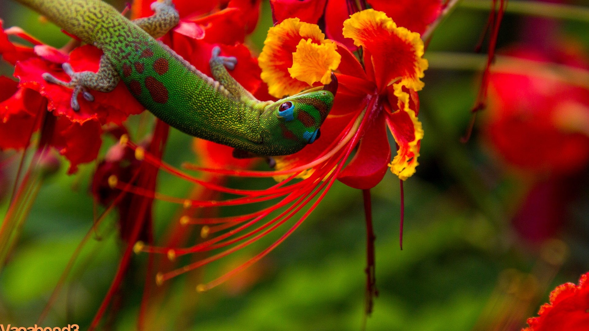 Beautiful Flower Wallpapers With Quotes Wallpaper Lizard Hilo Hawaii Lizard Green Flowers Red
