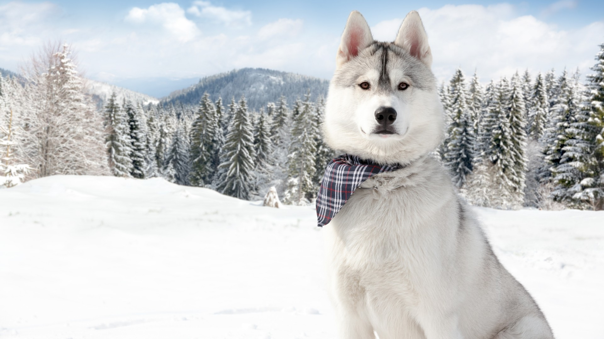 Cute Wallpaper Wid Quotes Wallpaper Huskies Dog Puppy Snow Forest Winter White