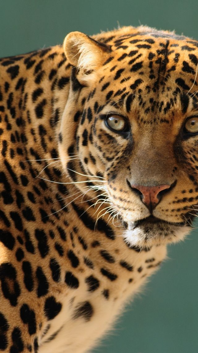 Classic Car Wallpaper Iphone Wallpaper Jaguar Wild Cat Face Animals 10237