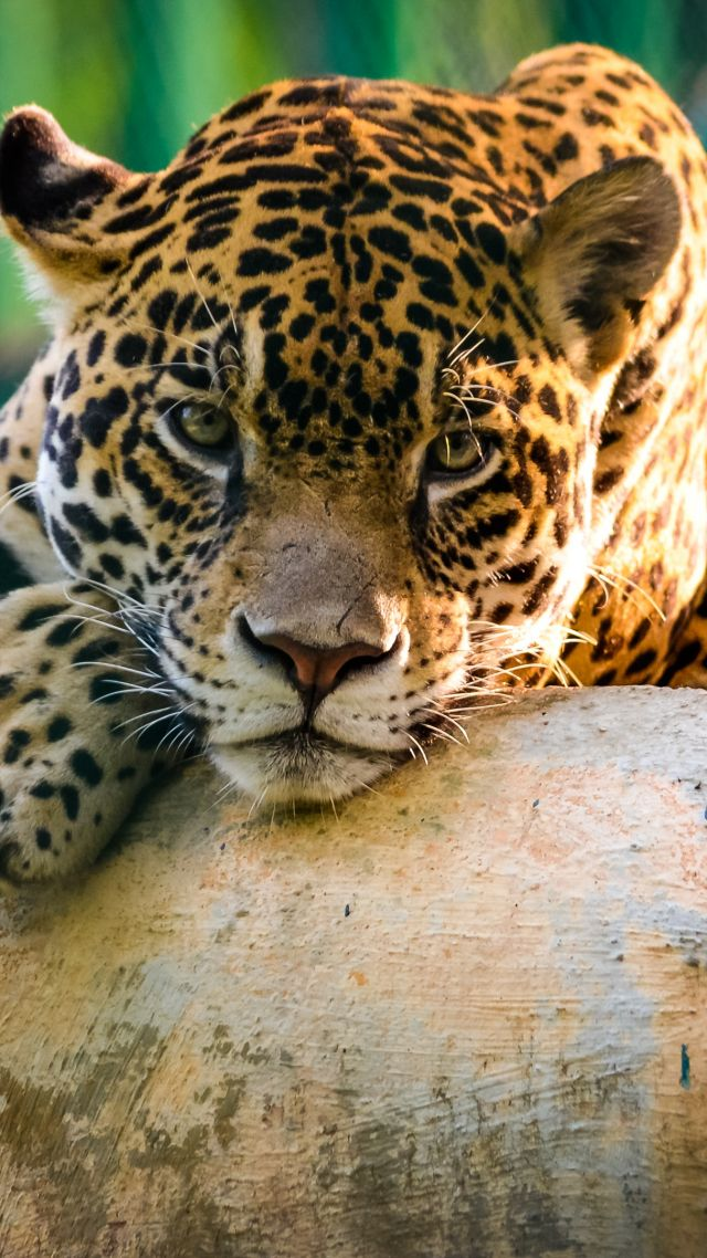 Cute Wallpaper Wid Quotes Wallpaper Jaguar Wild Cat Sad Face Animals 10303