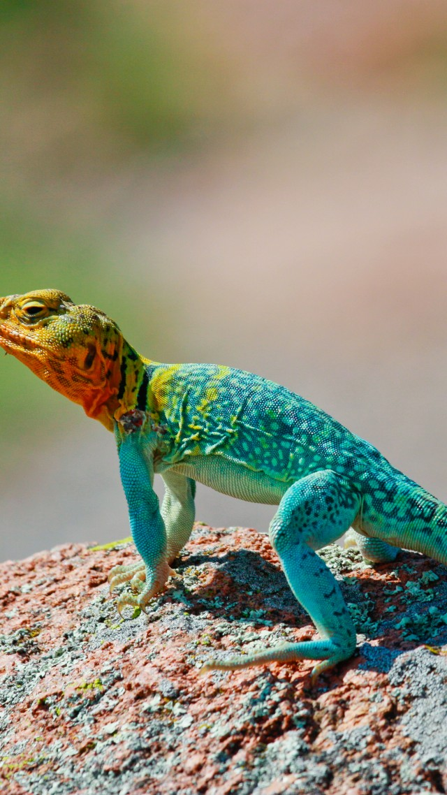 Maya Girls Wallpaper Wallpaper Crotaphytus Collaris Mexico Lizard Colorful