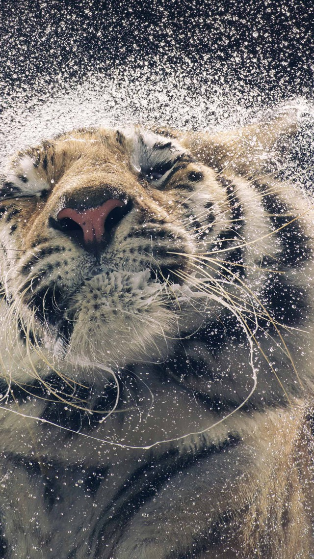 Amazing Funny Quotes Wallpapers Wallpaper Tiger Drops Cute Animals Funny Animals 4481