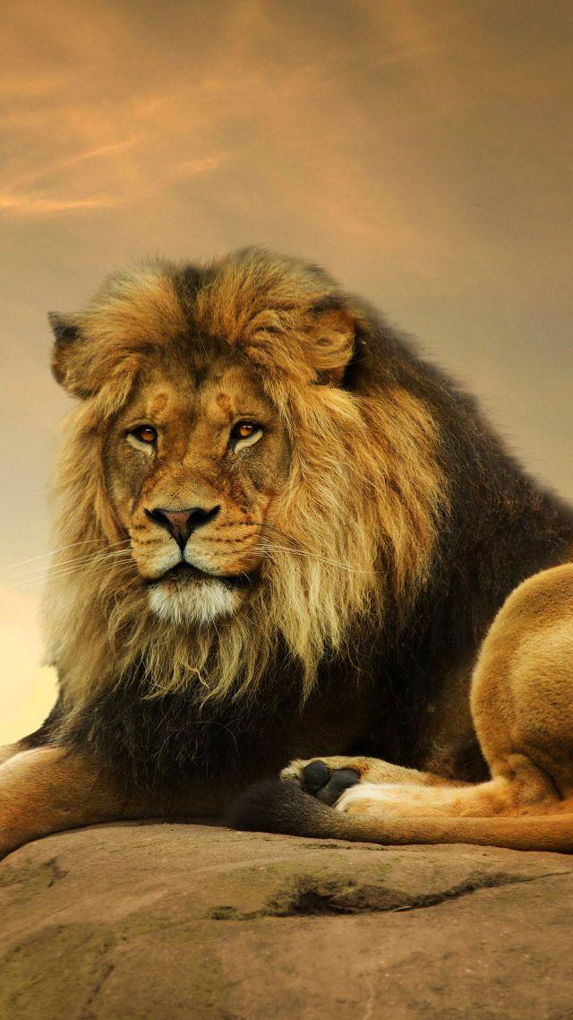 Cute Cartoon Hd Wallpaper Download Wallpaper Lion Savanna Cute Animals Animals 4506
