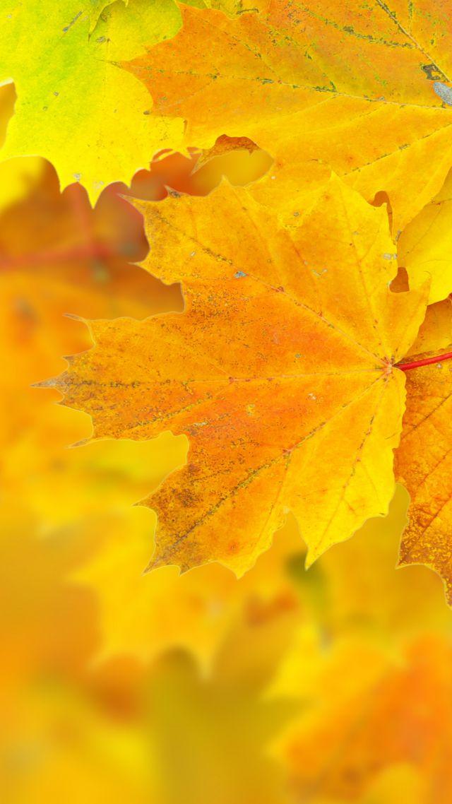 Wallpaper Leaves 5k 4k Wallpaper 8k Maple Macro