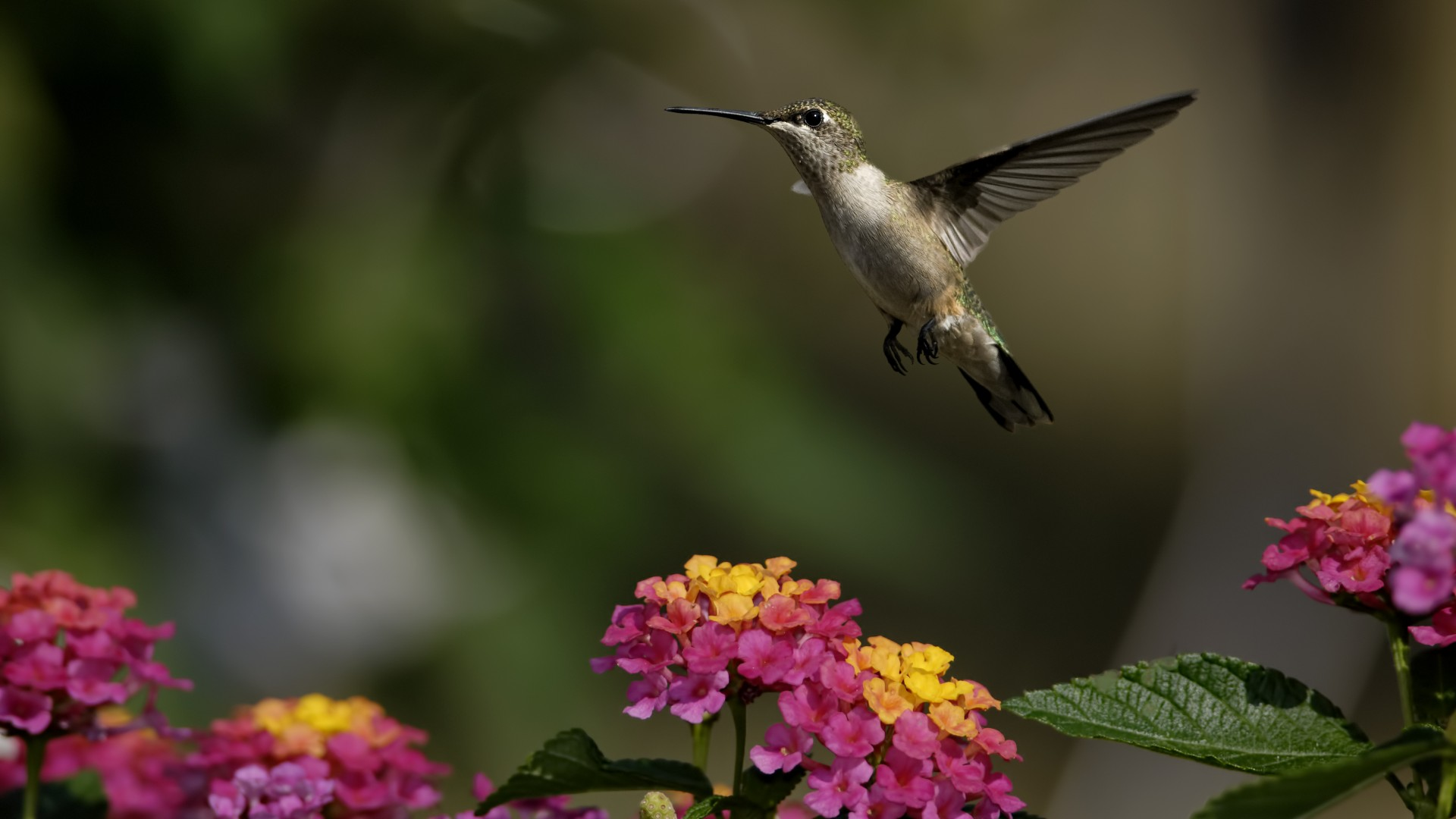 Cute Wallpapers Hd With Quotes Wallpaper Colibri Flowers Flight Blur Animals 4756