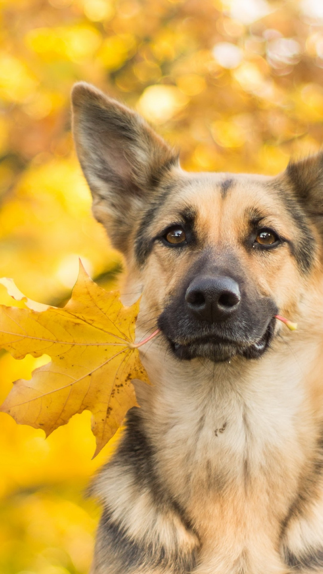 Cute Dog Wallpapers With Quotes Wallpaper Dog Cute Animals Leaves Autumn 4k Animals