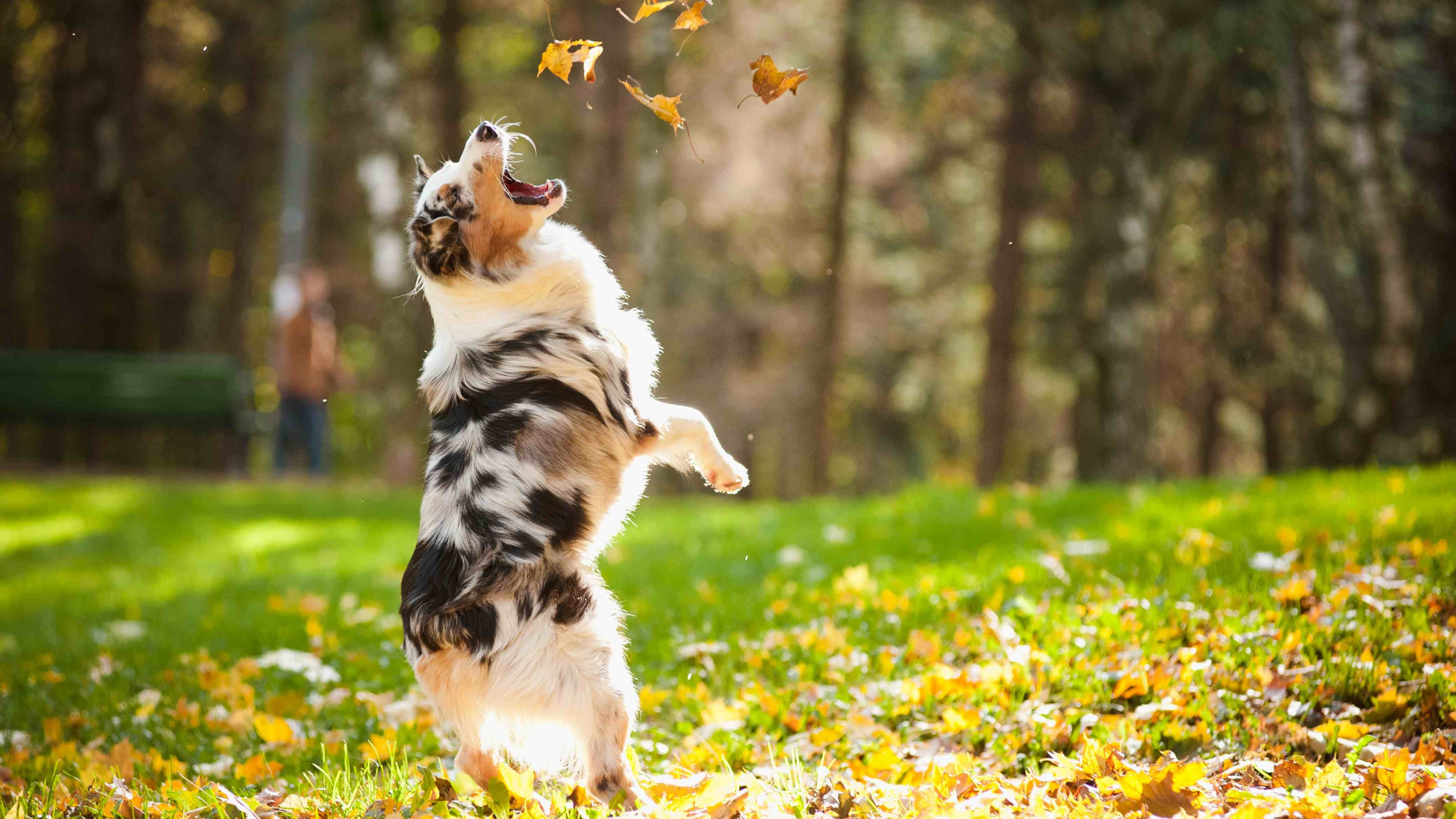 Wallpaper Dog Puppy Jumping Leaves Autumn Pet Green