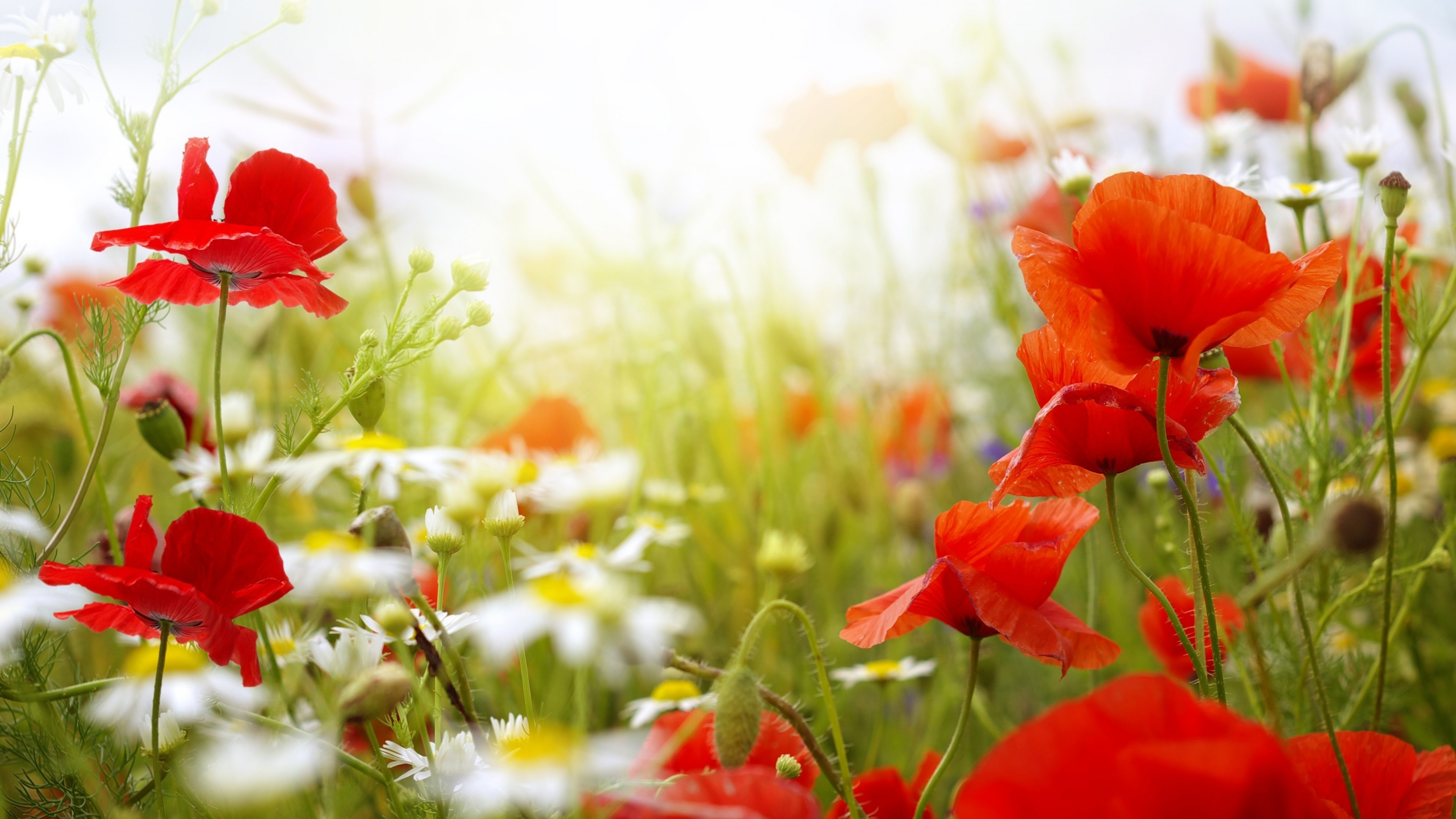 Or click the search stock images button to search over a million free stock photos to use in your collage. Wallpaper Field, 4k, HD wallpaper, Chamomile, Poppy