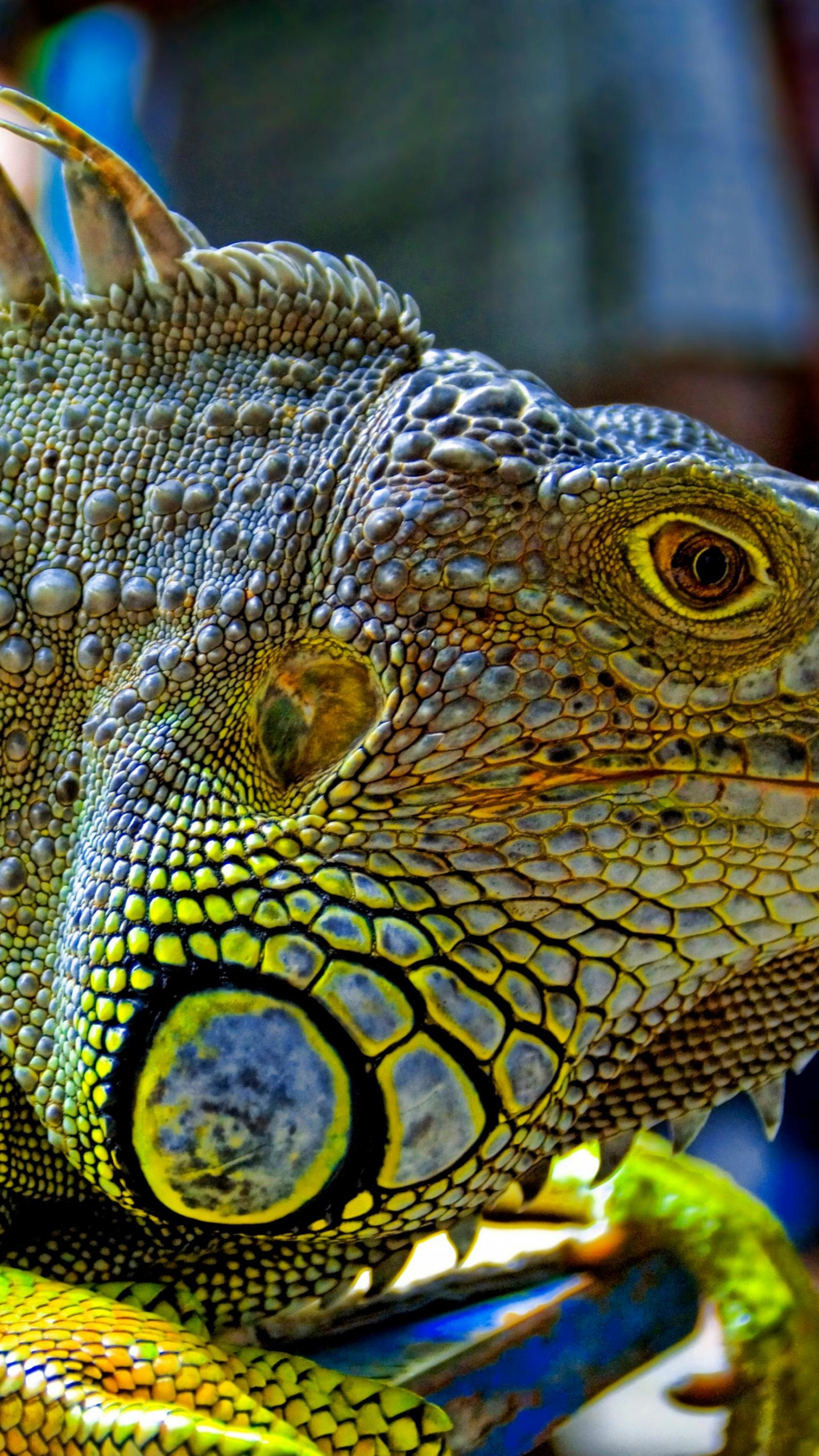 Flowers Hd Wallpapers With Quotes Wallpaper Green Iguana Reptiles Nature Lizard Animals