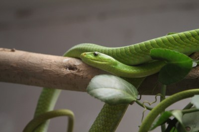 Wallpaper Green mamba, snake, leaves, New Orlean, LA, USA ...