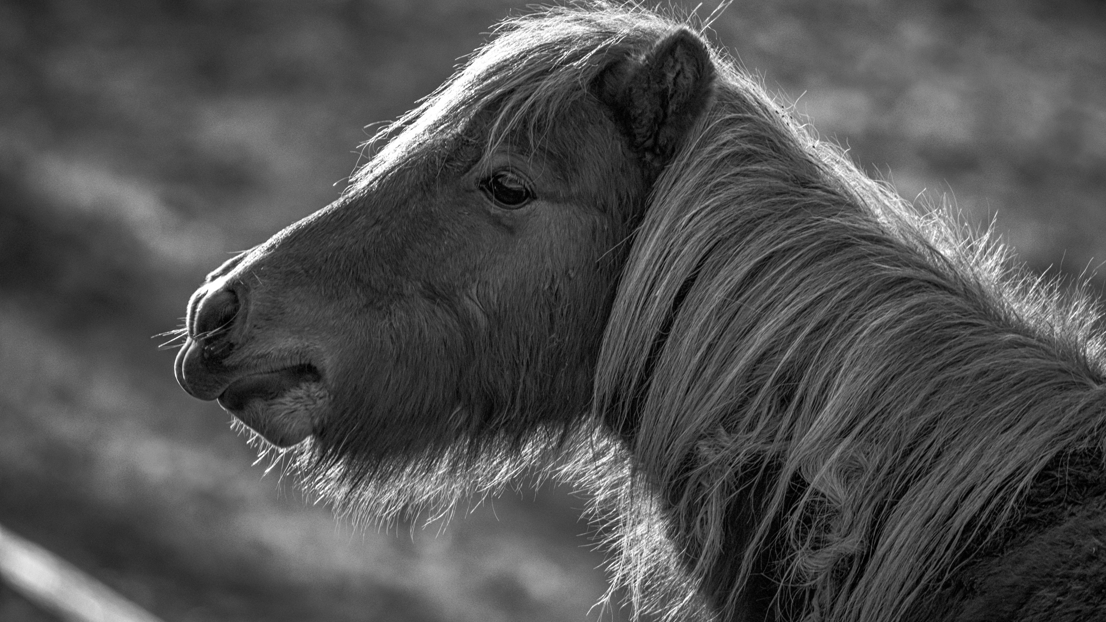 Cute Wallpapers Quotes For Girls Wallpaper Horse Pony Black And White Animals 10358