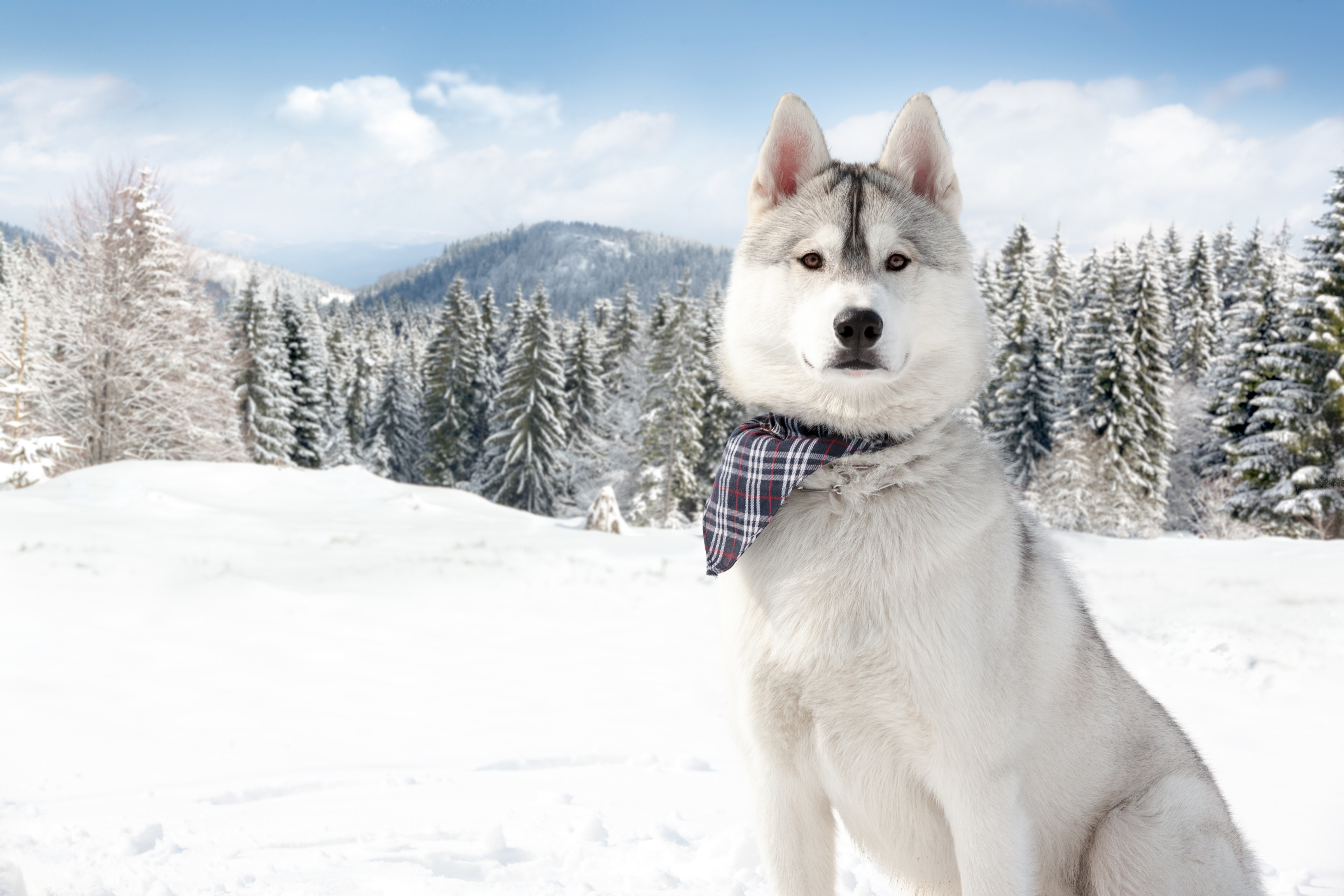 Cute Wallpapers Of Dogs And Puppies Wallpaper Huskies Dog Puppy Snow Forest Winter White