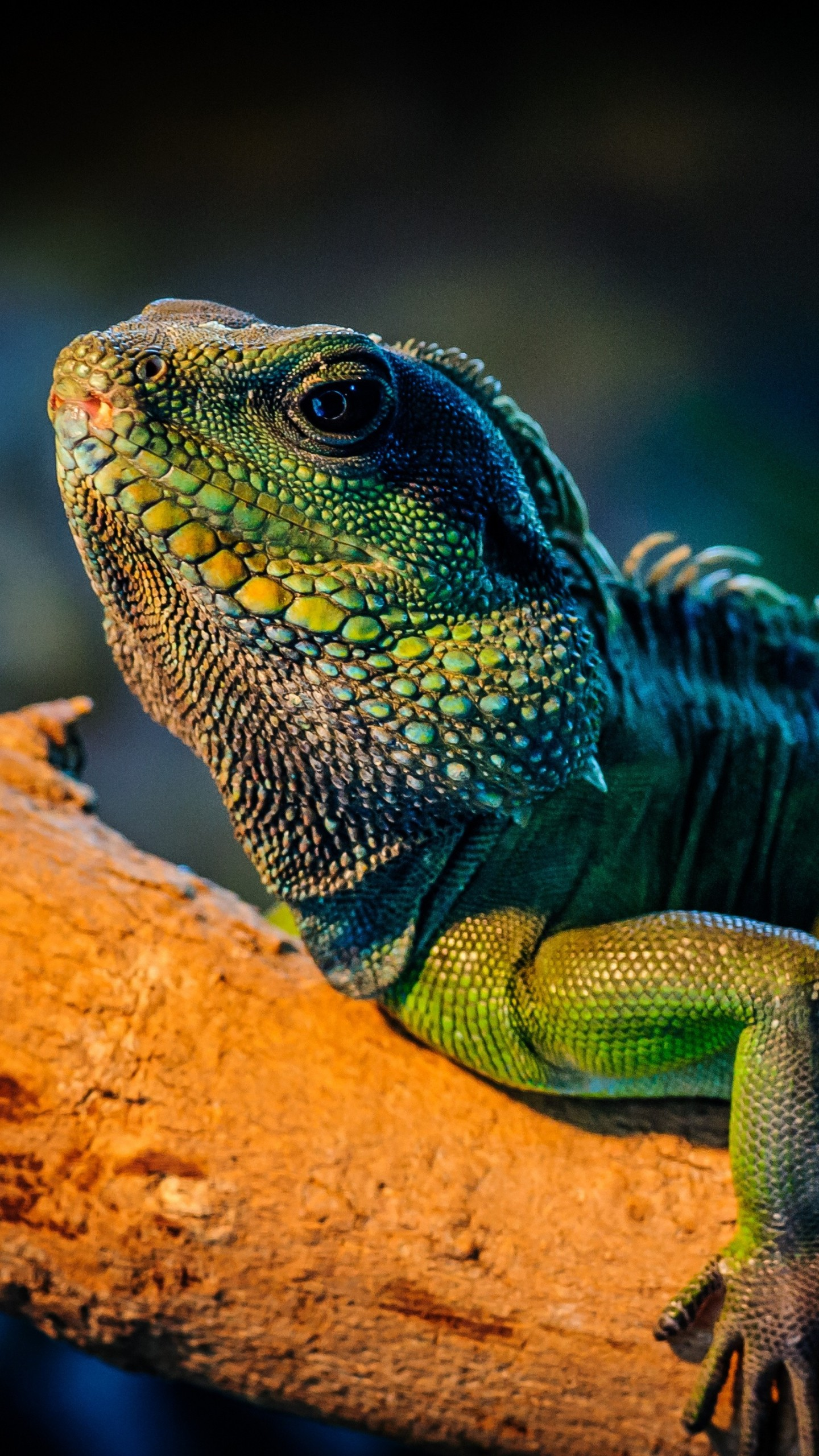 Cute Wallpapers With Quotes Hd Wallpaper Iguana Lizard Cute Animals Animals 4670