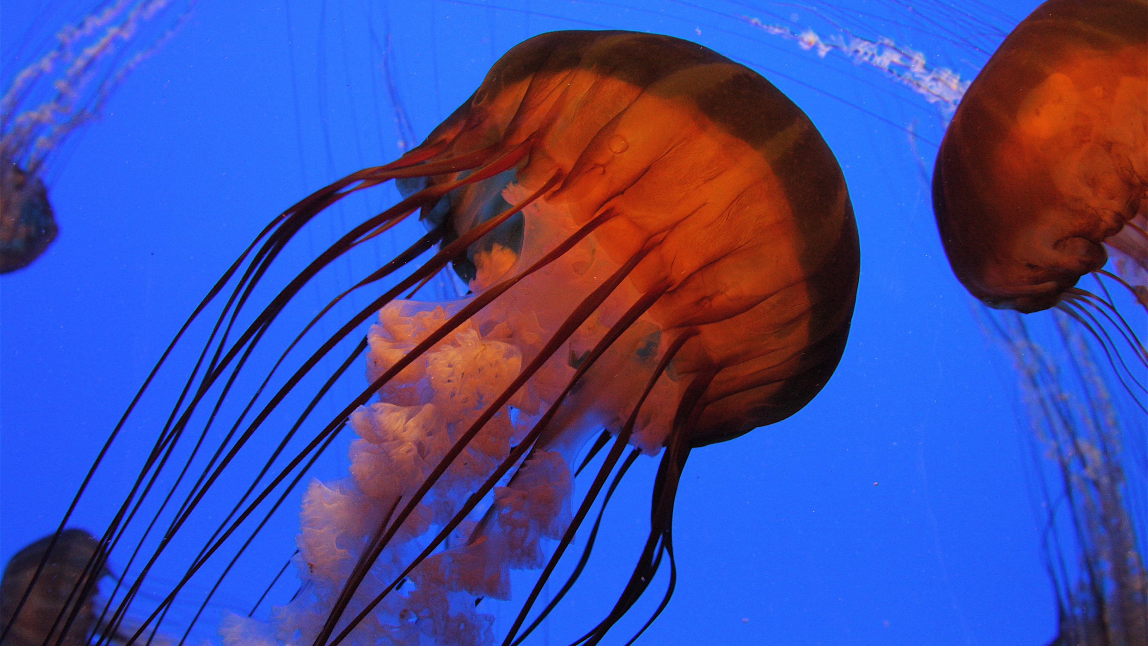 Best Quotes From The Yellow Wallpaper Wallpaper Jellyfish 4k 5k Wallpaper Pacific Sea Nettle