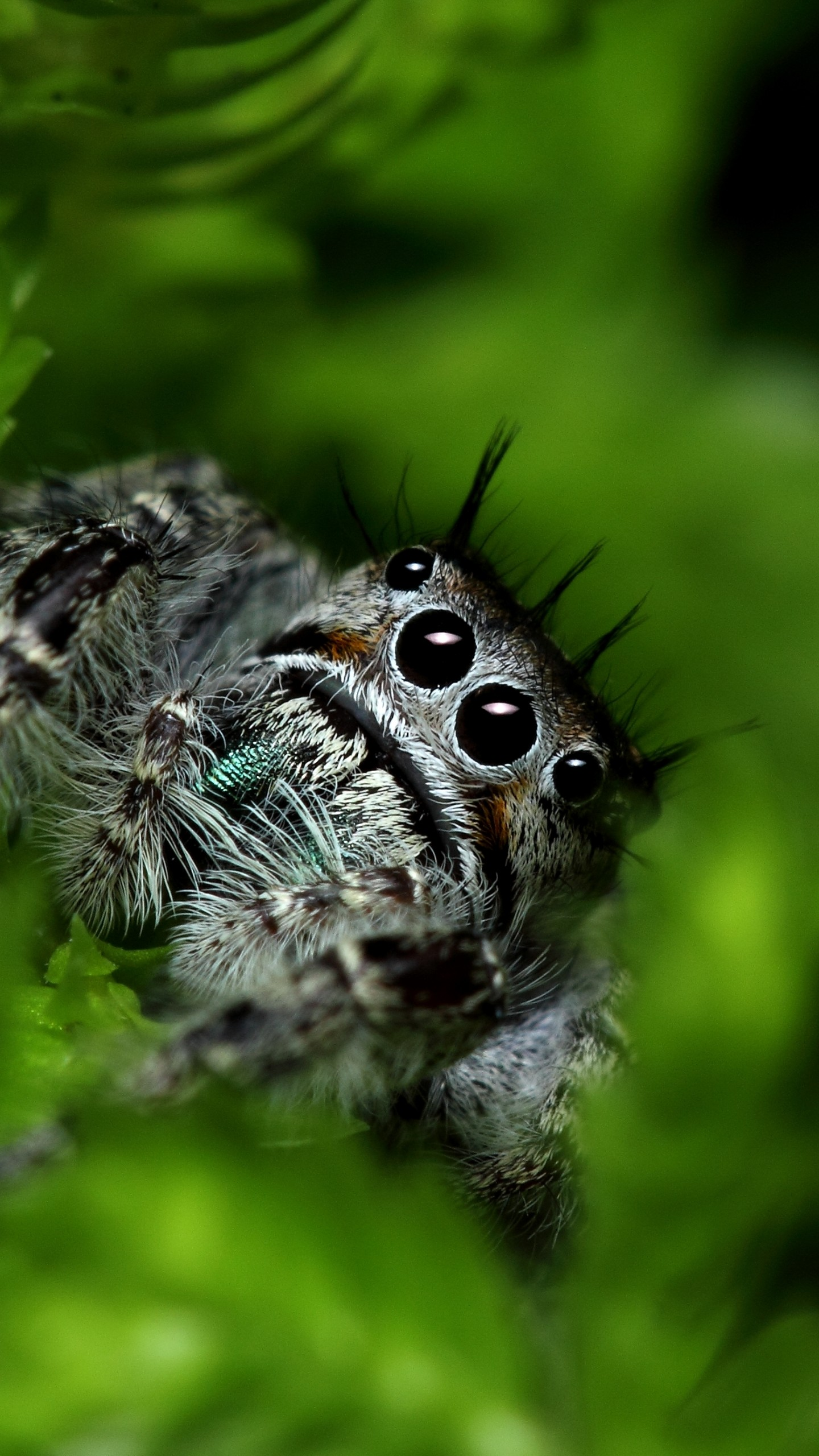 Blue Wallpaper For Girls Wallpaper Jumping Spider Eyes Insects Leaves Green