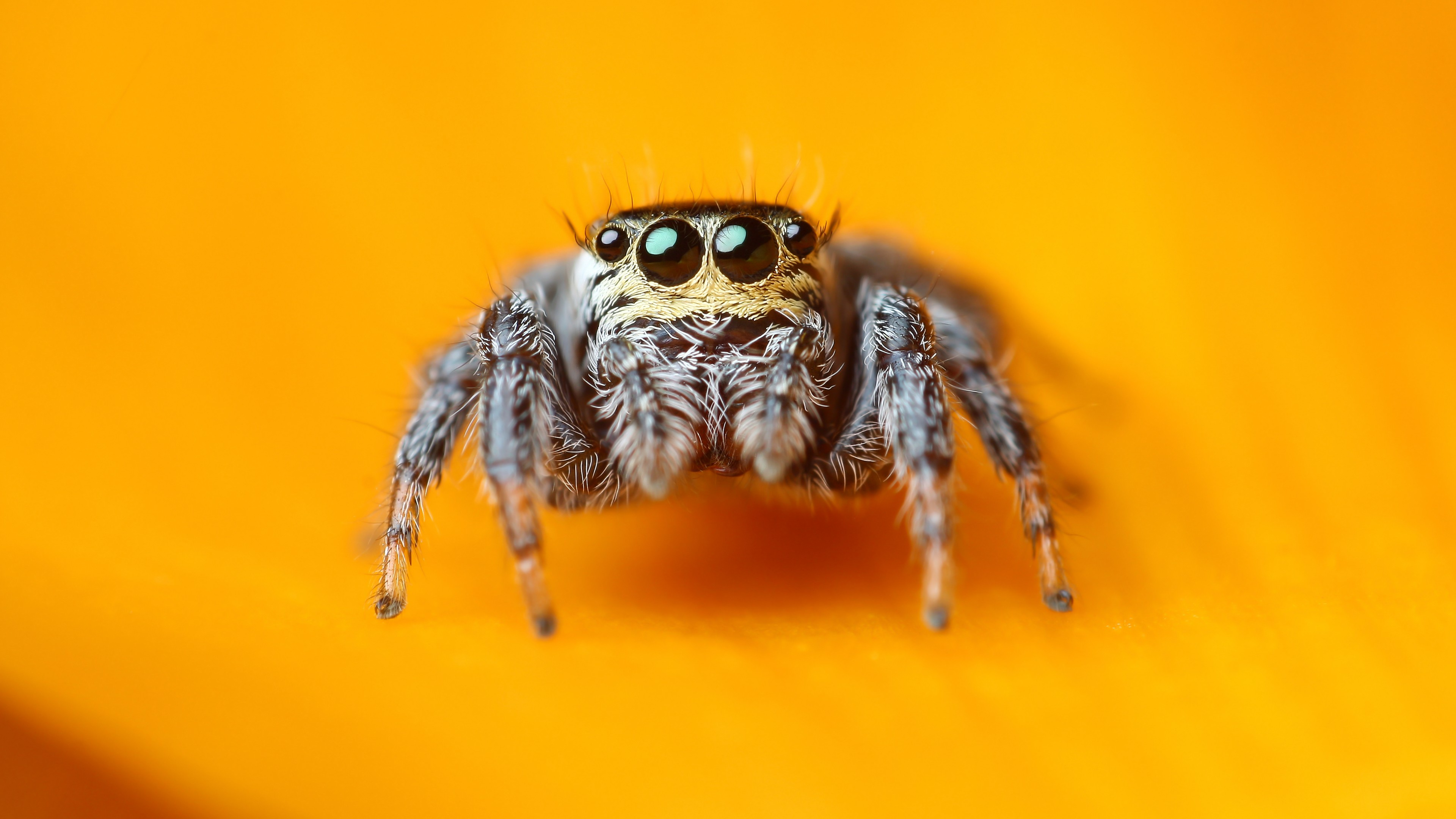Blue Eyes Cute Wallpaper Wallpaper Jumping Spider 5k 4k Wallpaper Macro Black