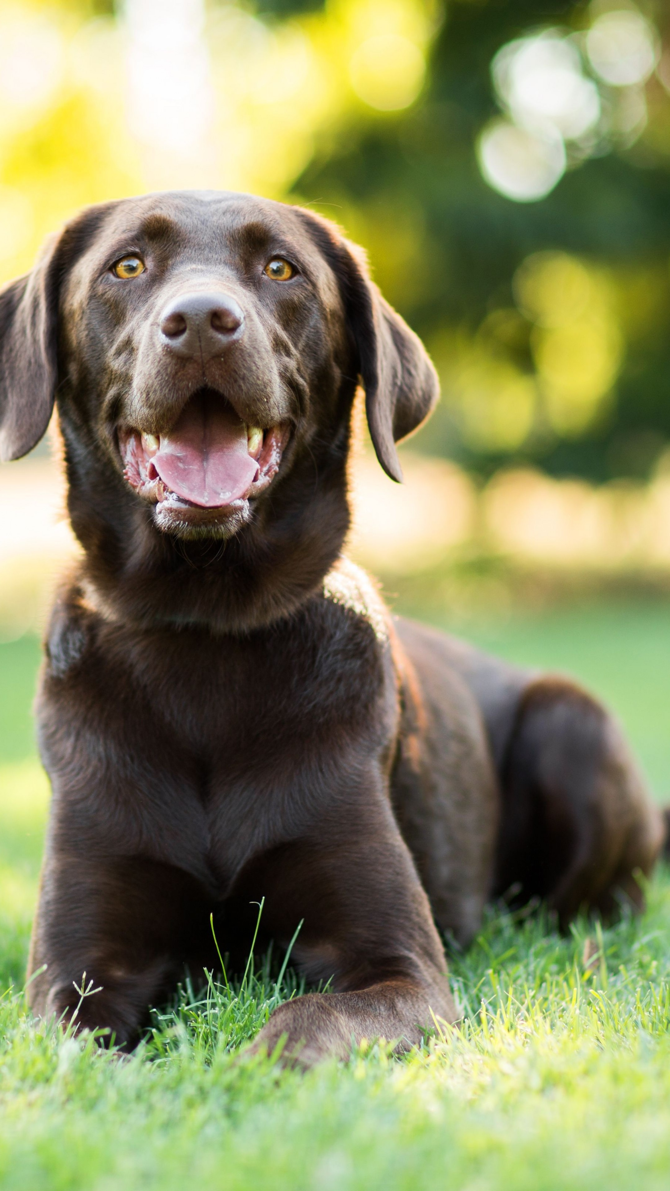 Cute Tech Wallpaper Wallpaper Labrador Dog 4k Animals 14938