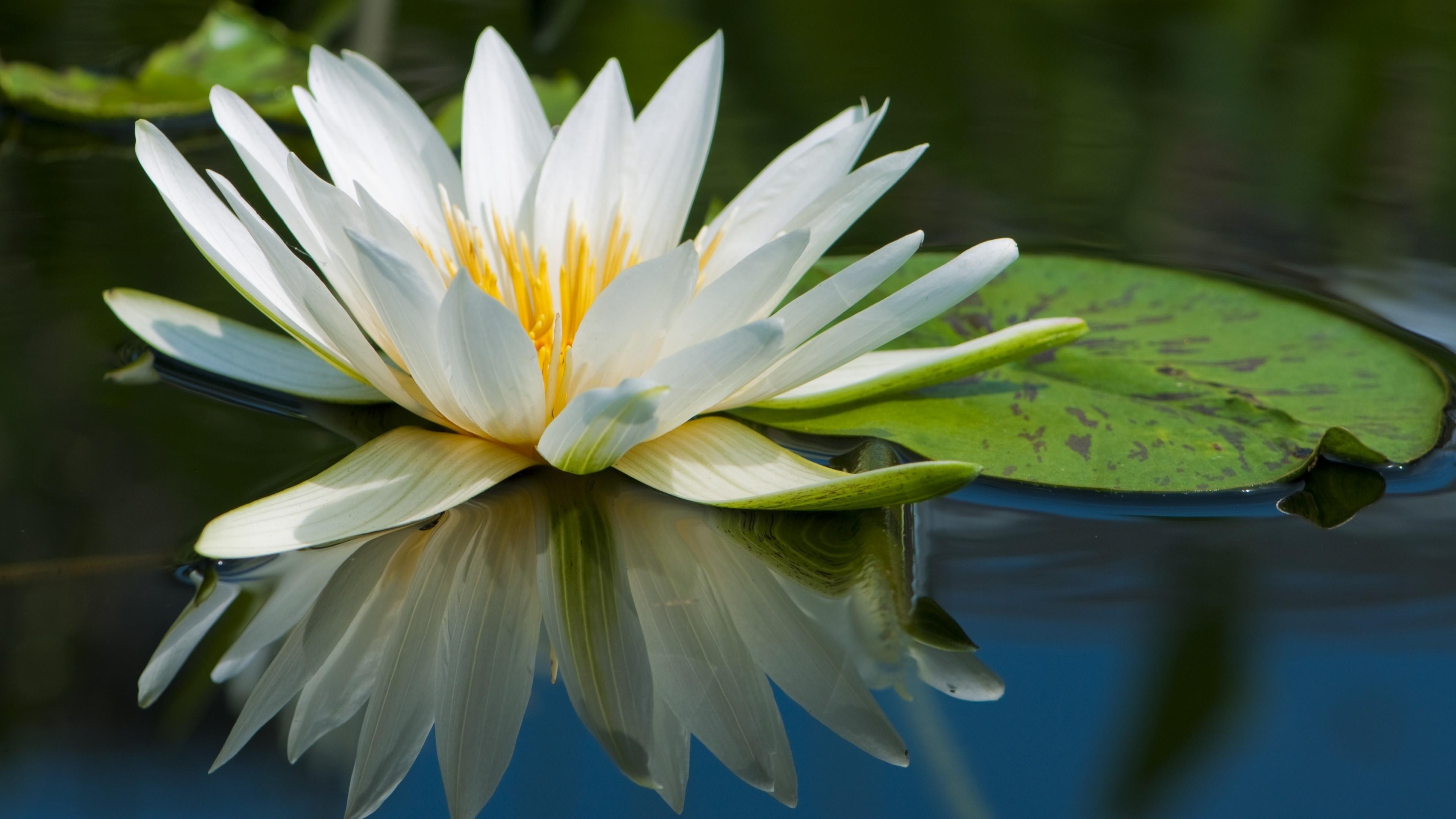 3d Wallpapers Buy Online Wallpaper Lotus 5k 4k Wallpaper Flowers Lake River