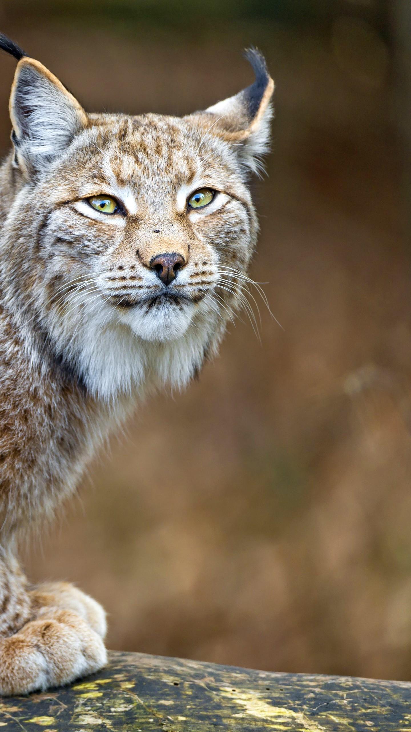 Download Cute Pets Wallpapers Wallpaper Lynx World S Dangerous Animals Predator