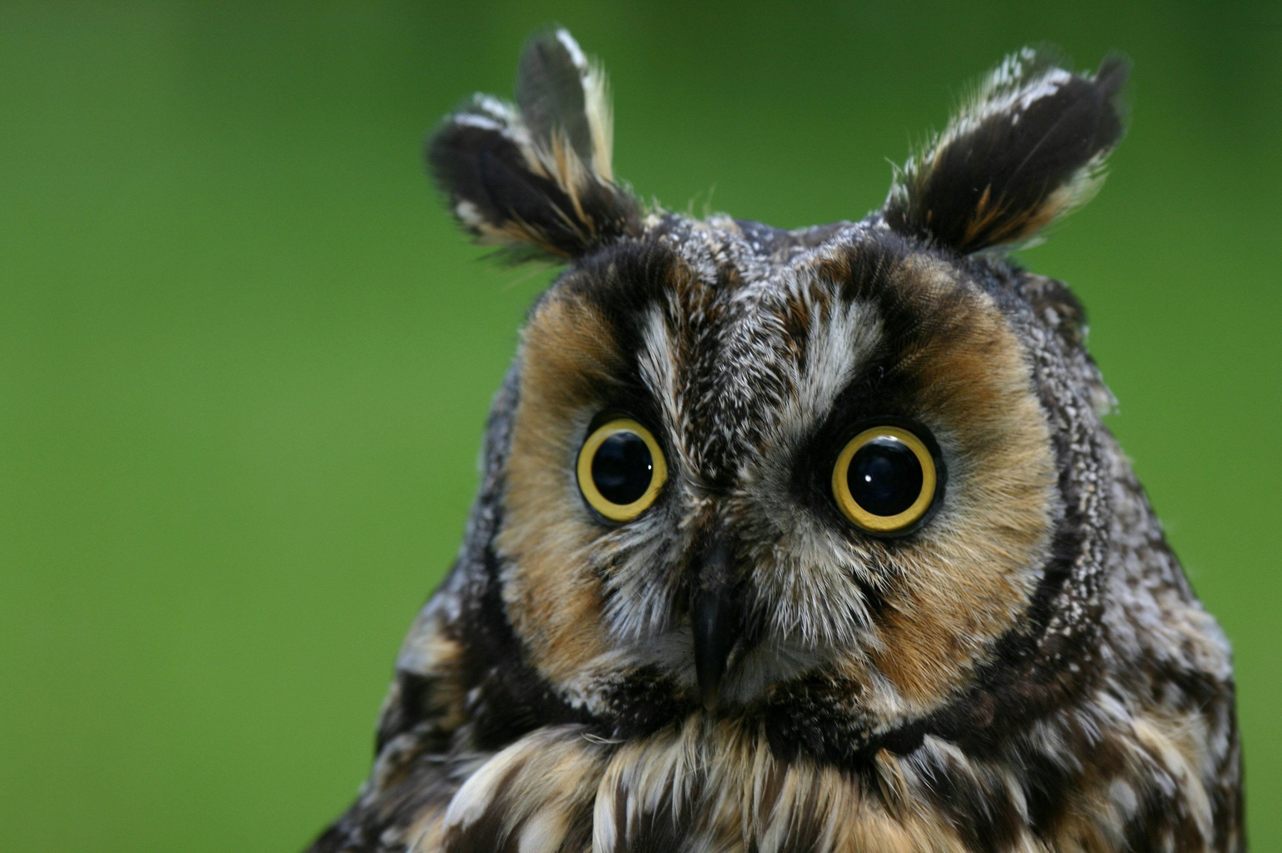 Hd Wallpaper Quotes For Android Wallpaper Owl Eagle Owl Funny Nature Plumy Animals 4075