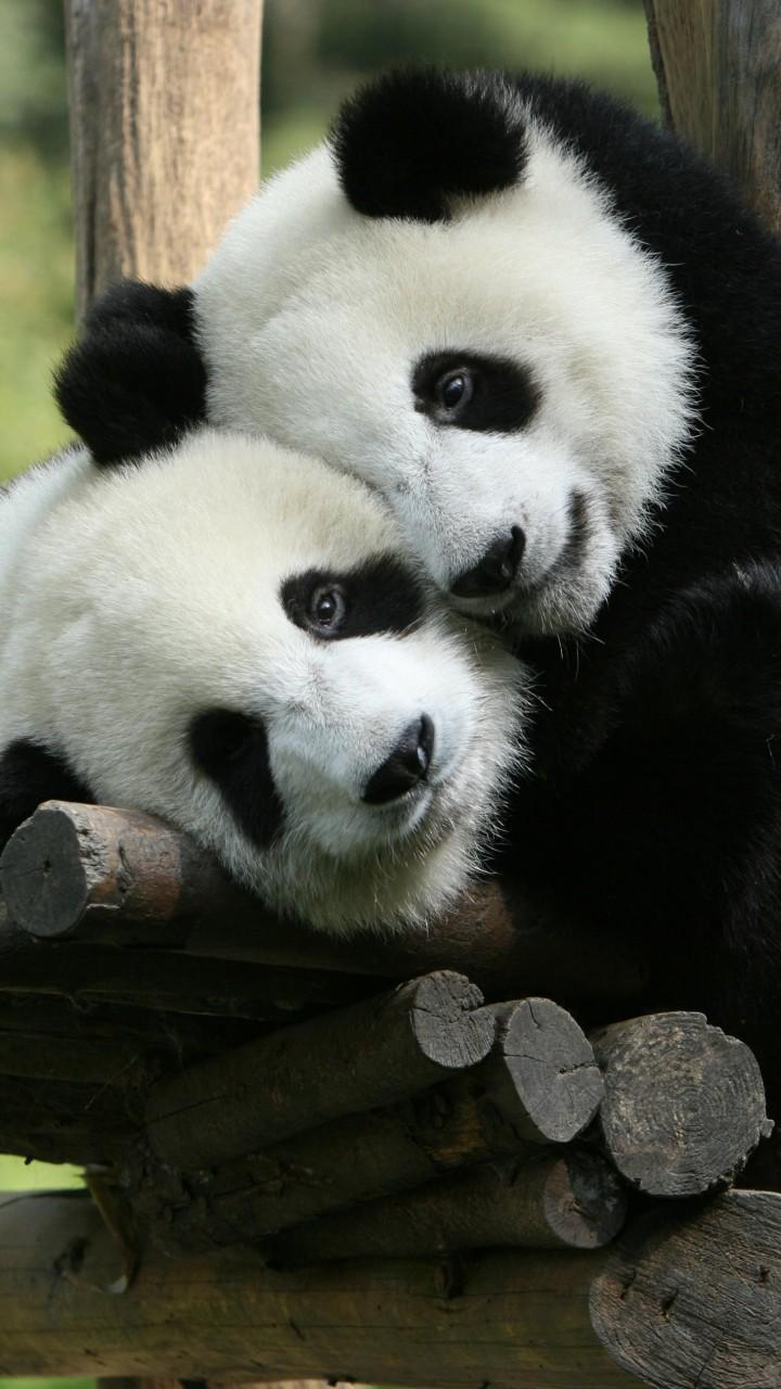 Cute Pets Wallpaper Hd Wallpaper Panda Giant Panda Zoo China Cute Animals