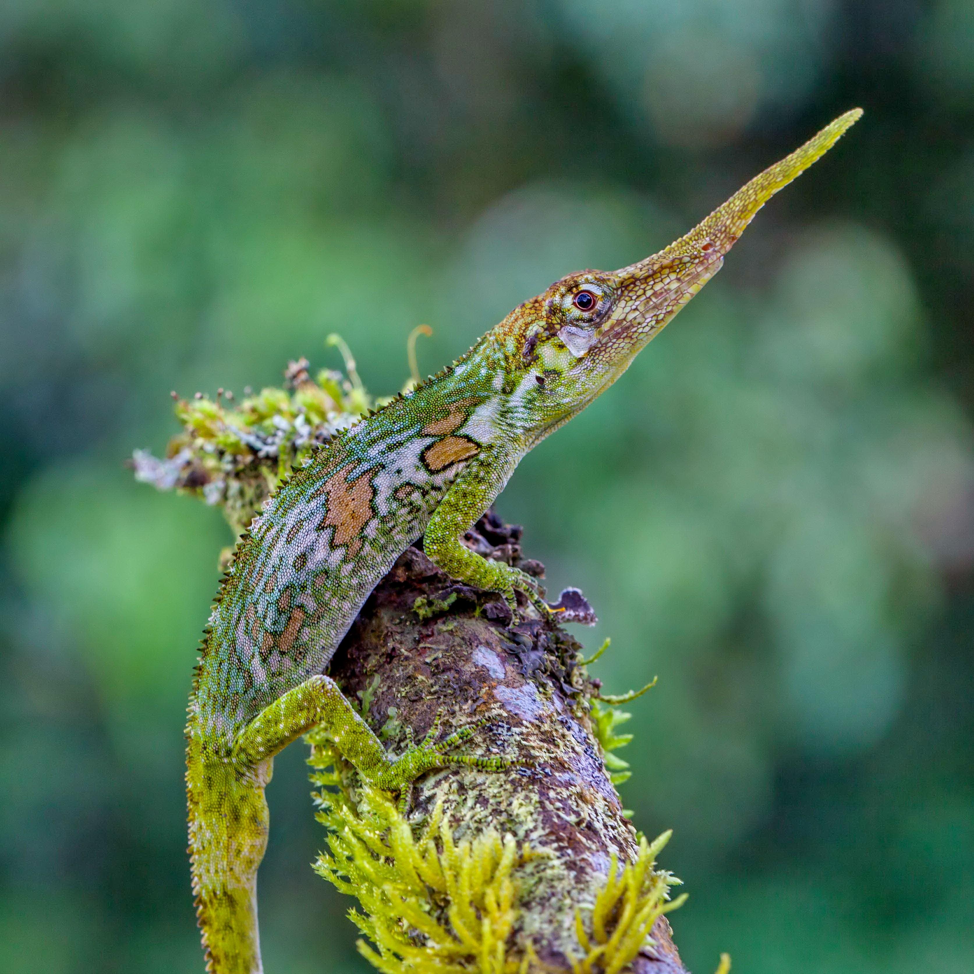 Cute Friends Wallpapers For Facebook Wallpaper Pinocchio Lizard Ecuador Green Nature Animal